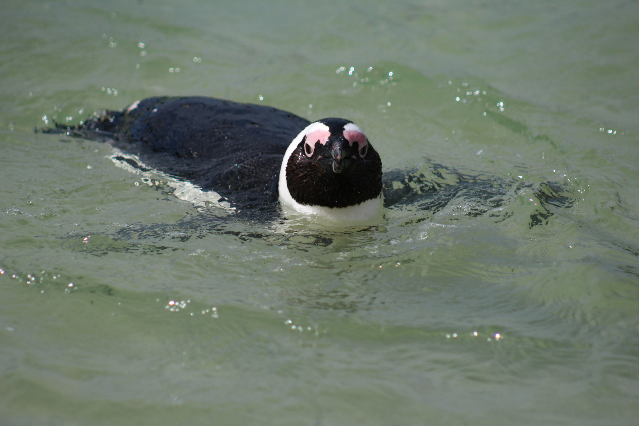 swimming african penguin south africa boulders beach (1 of 1).jpg