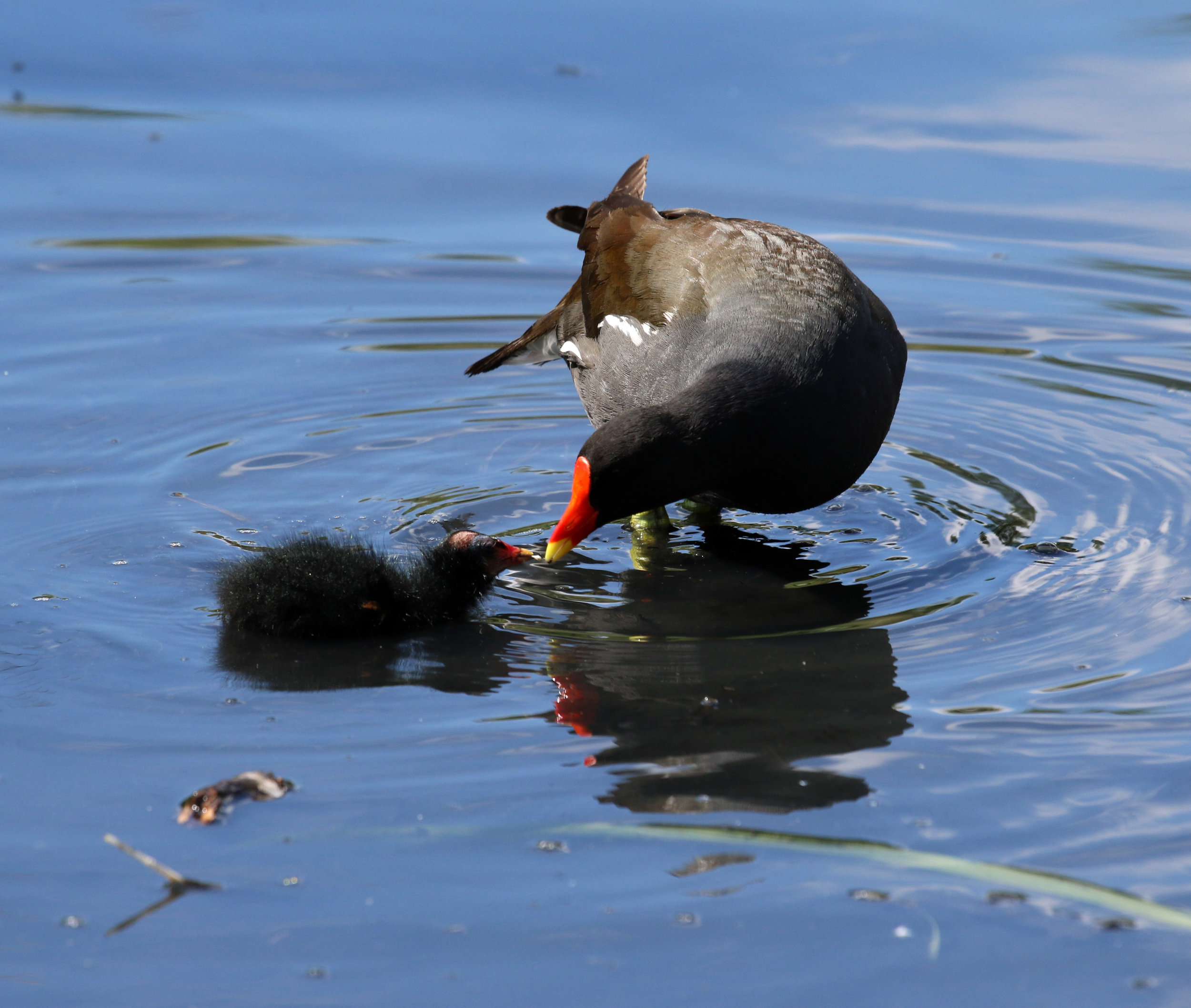 edited moorhen with chick (1 of 1).jpg