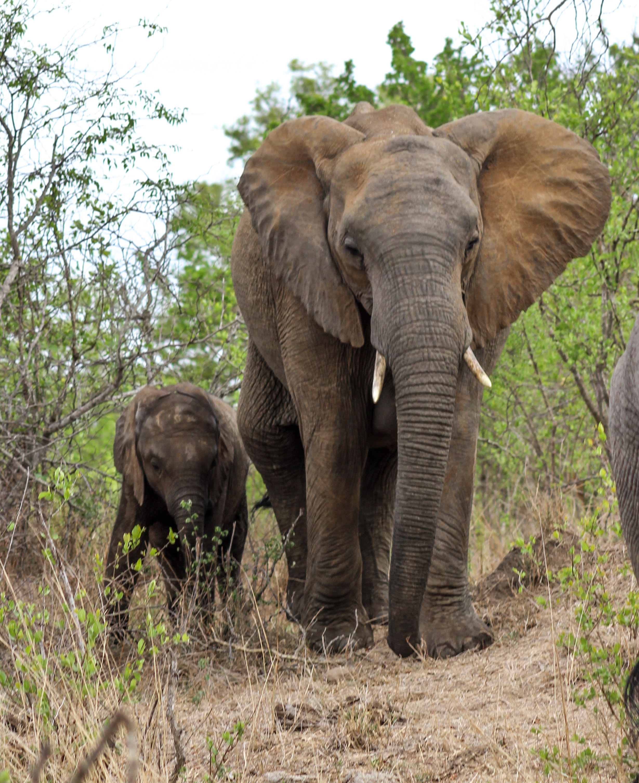 elephant baby elephant calf sabi sands south africa (1 of 1).jpg