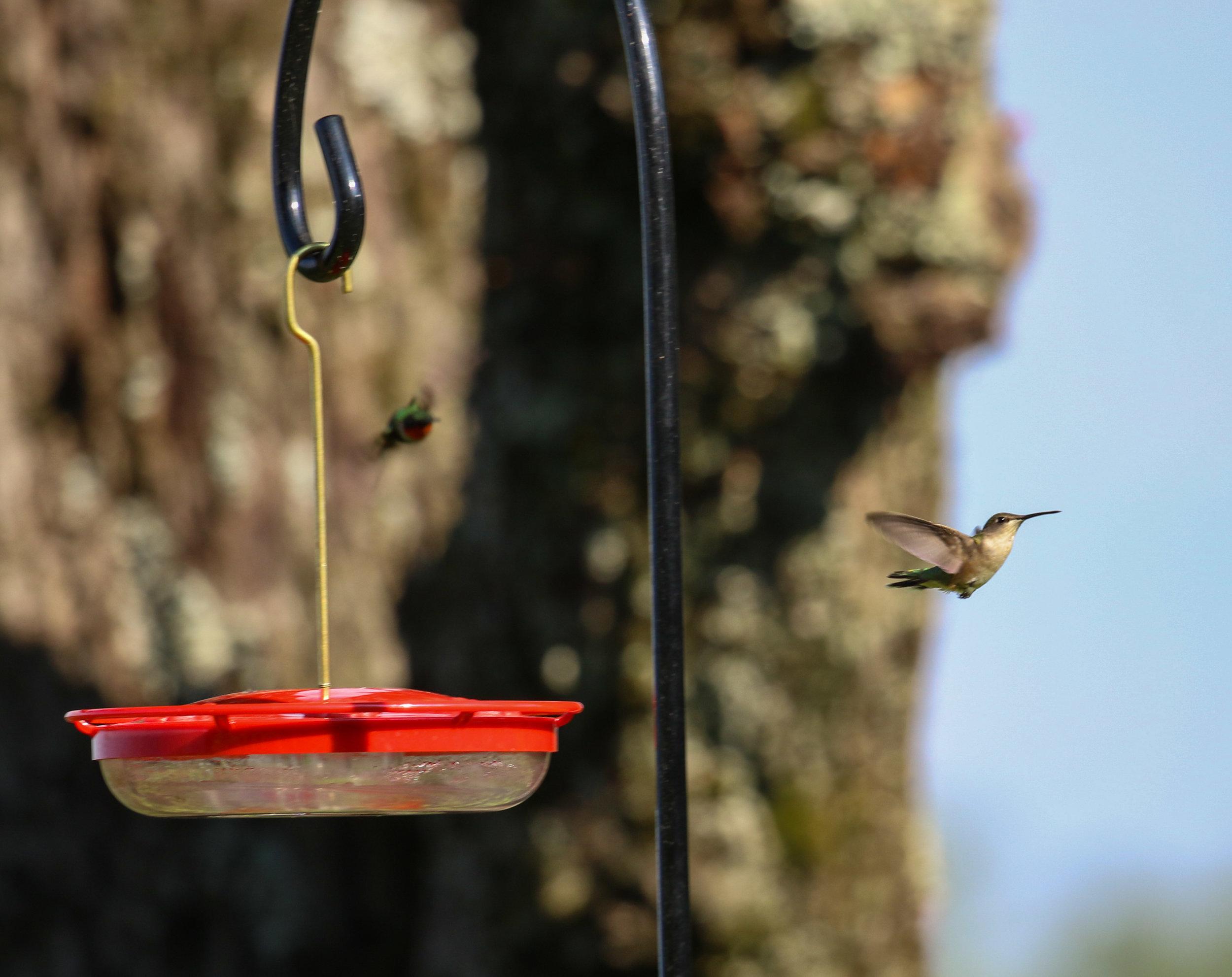 Hummingbirds North Carolina chase 1 of 1).jpg