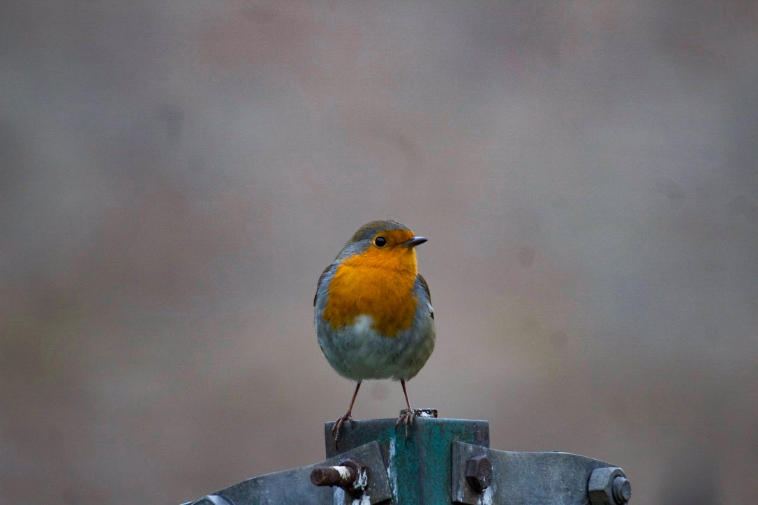 Robin green fence post (1 of 1).jpg