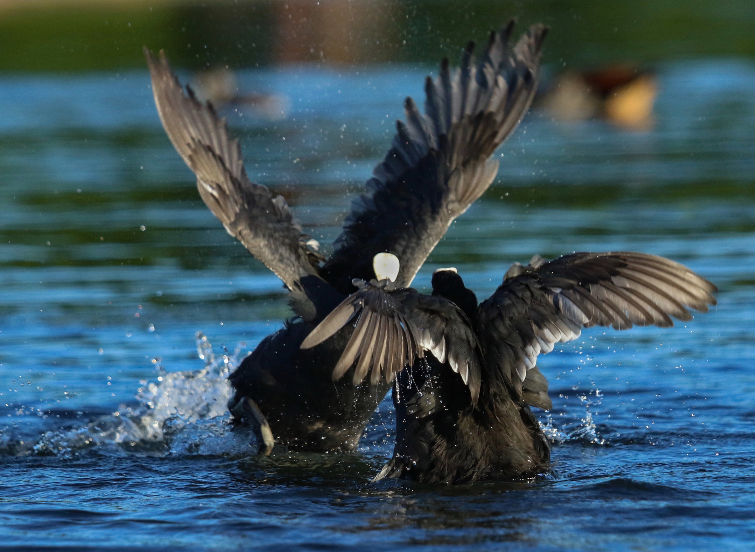 Coots fighting wings opening Hyde Park London by Millie Kerr -1-1.jpg