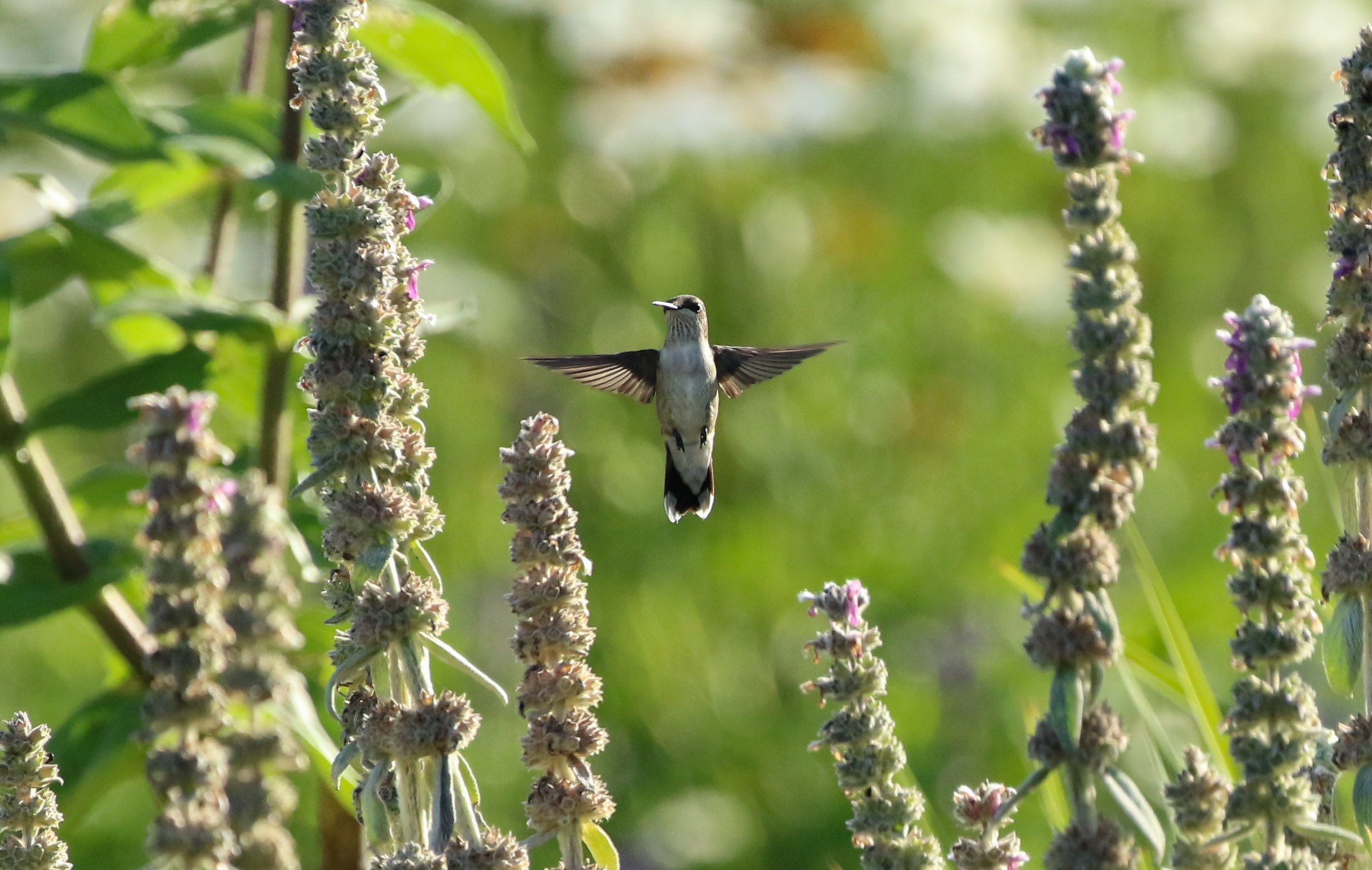 Female ruby-throated hummingbird in air by purple flowers North Carolina by Millie Kerr-1.jpg