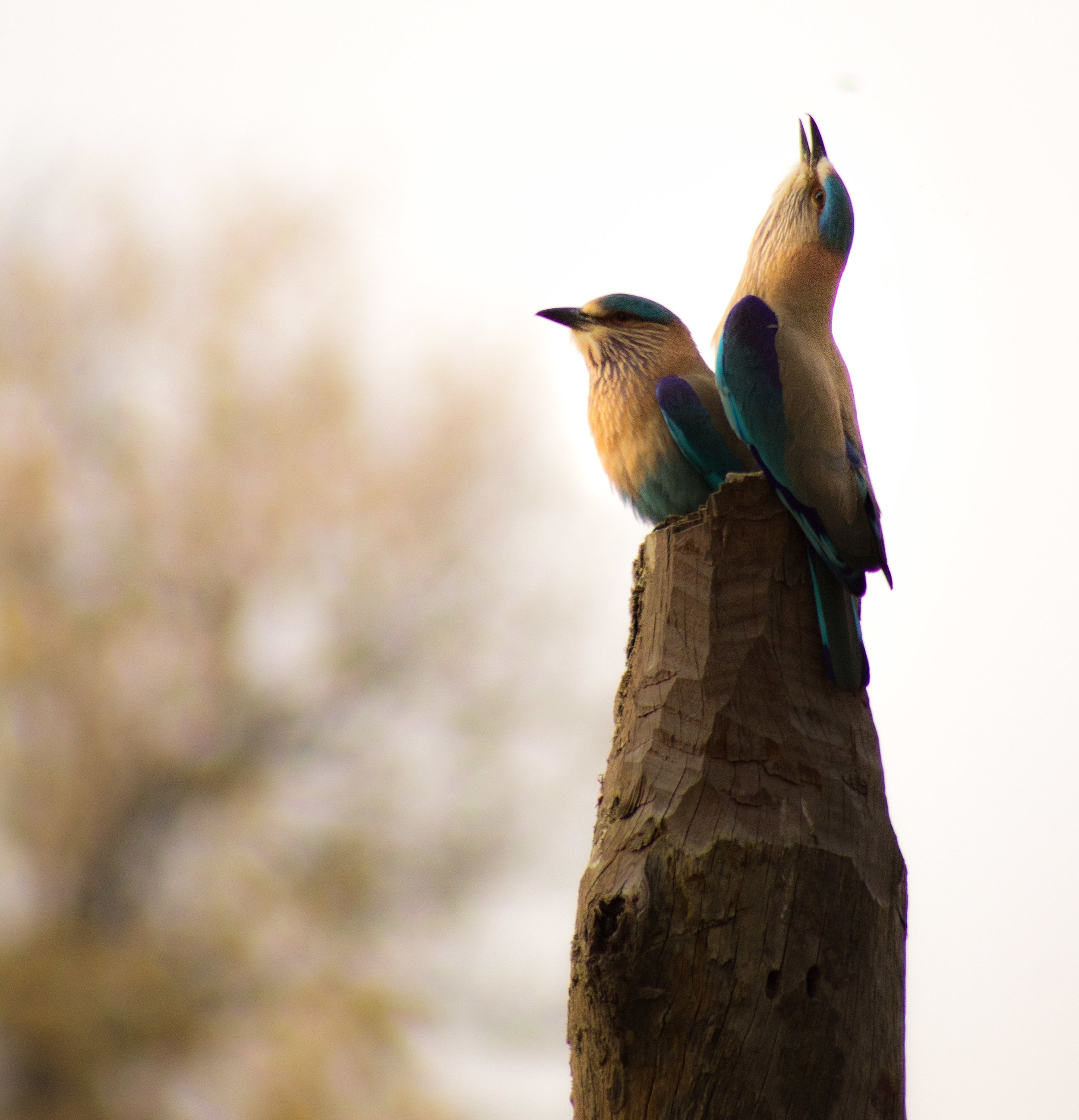 India Kanha Indian Roller Pair (1 of 1).jpg