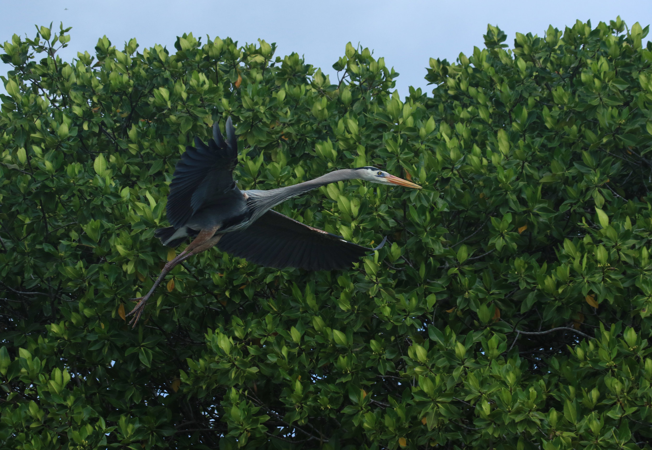 Blue Heron Flying Galapagos Islands Ecuador by Millie Kerr -1.jpg