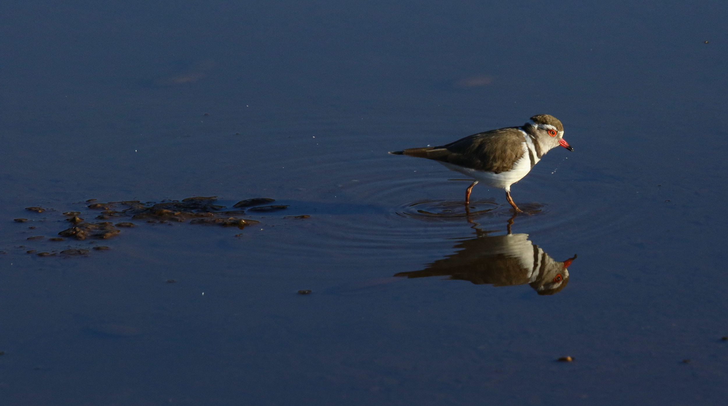 Three-banded plover reflection Lower Zambezi Zambia by Millie Kerr-1.jpg