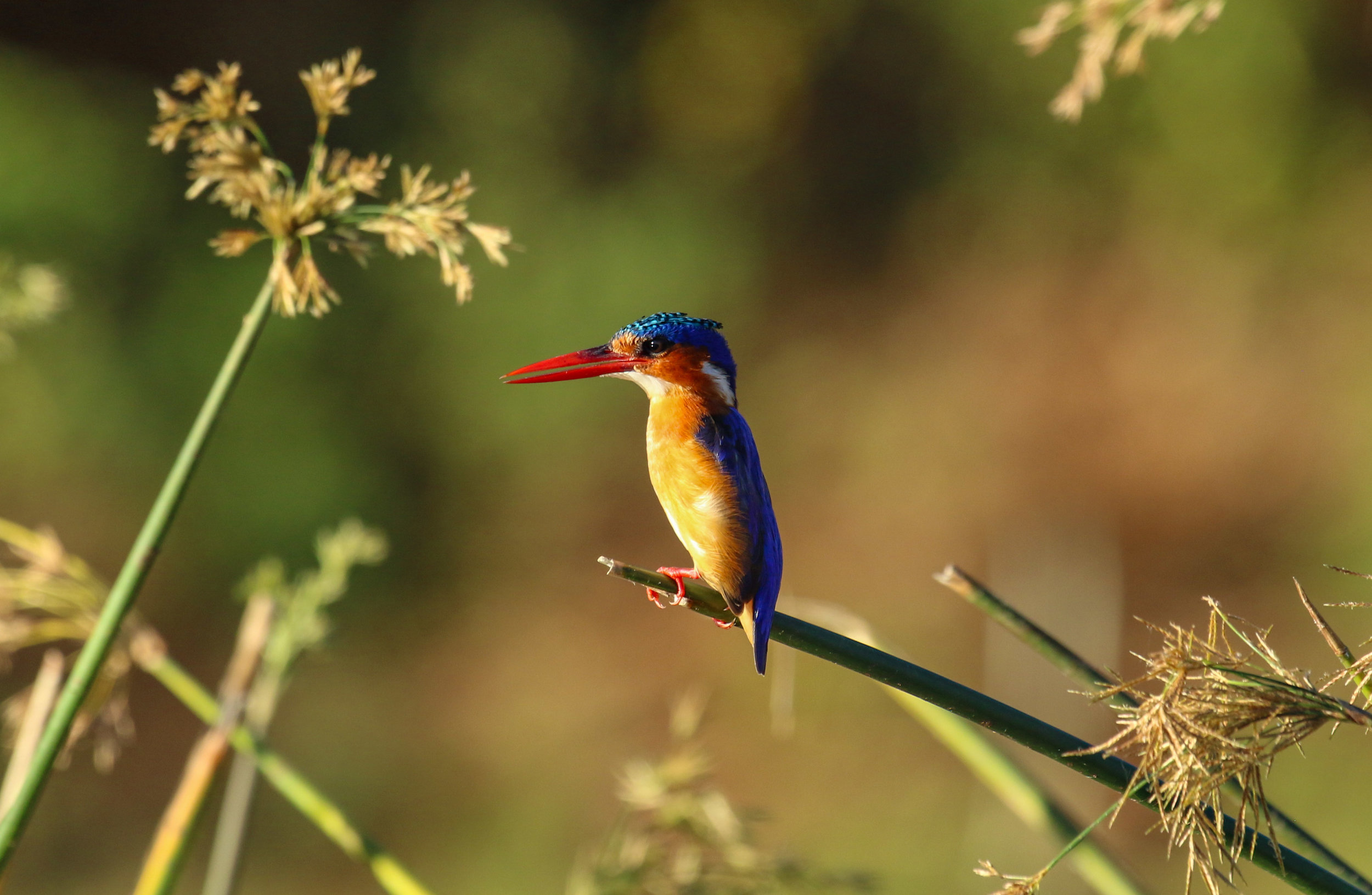 Malachite kingfisher golden hour Lower Zambezi Zambia by Millie Kerr-1.jpg