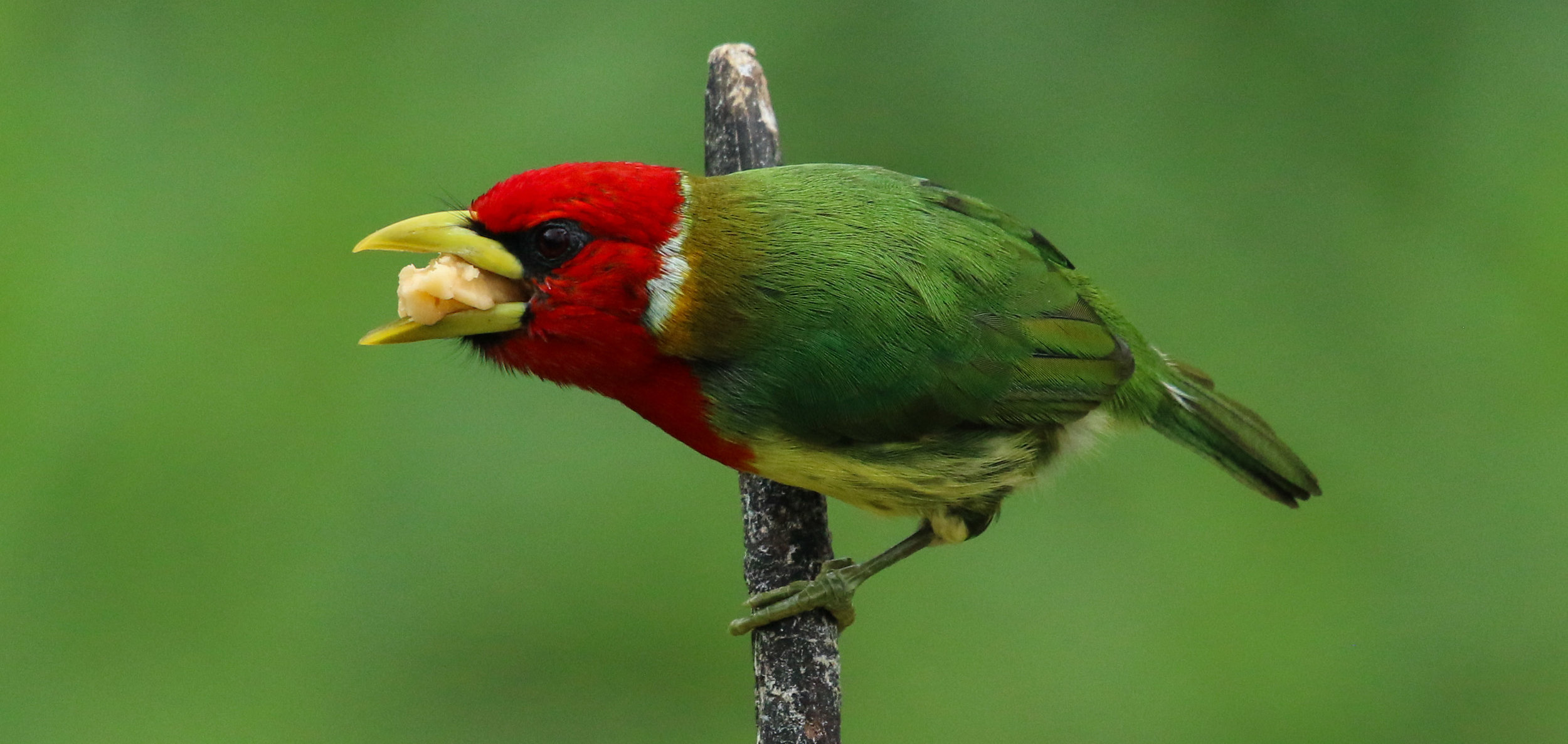 Male red-headed barbet eating Mashpi Reserve Ecuador by Millie Kerr-1.jpg