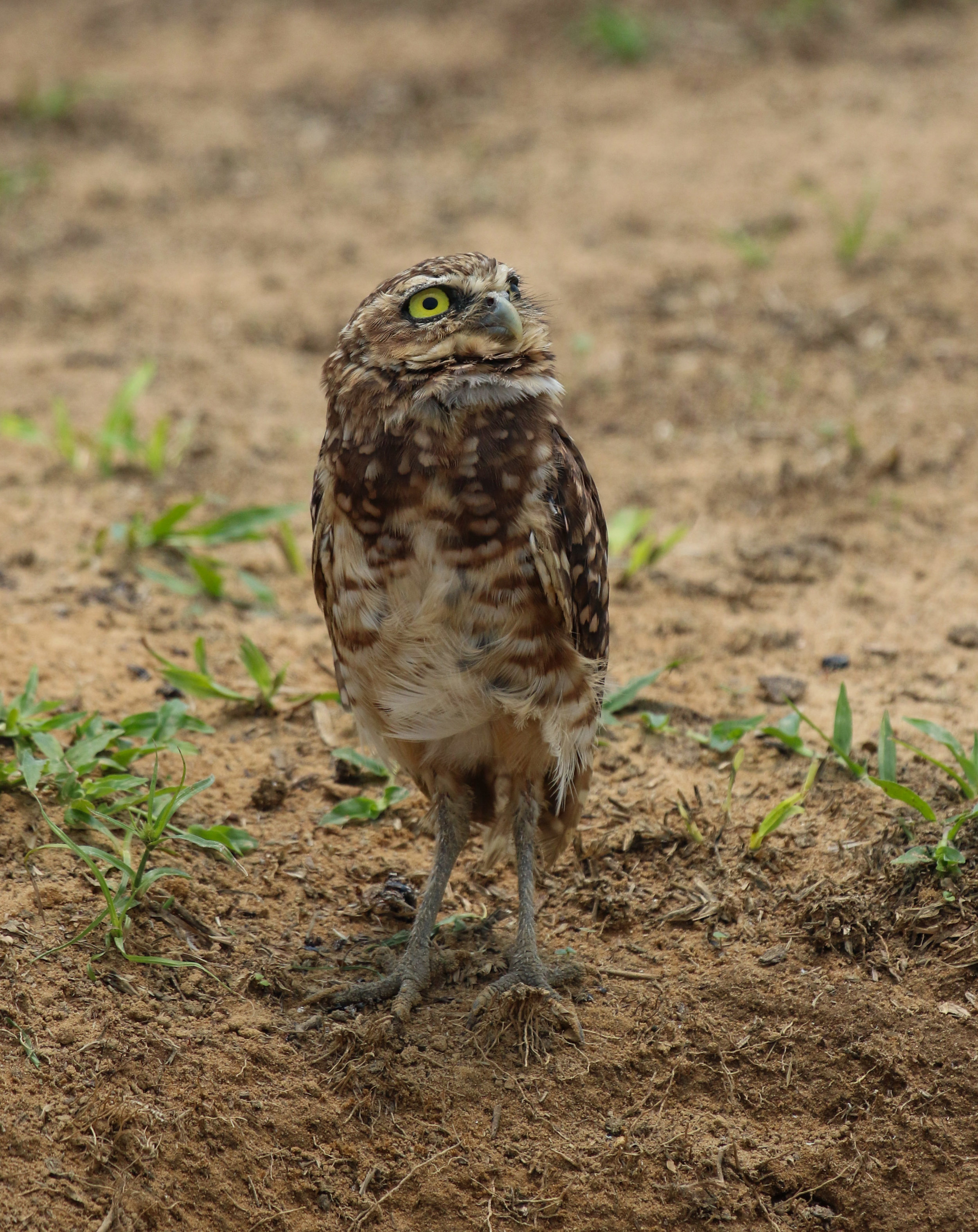 Burrowing owl staring up Llanos Colombia by Millie Kerr-1.jpg