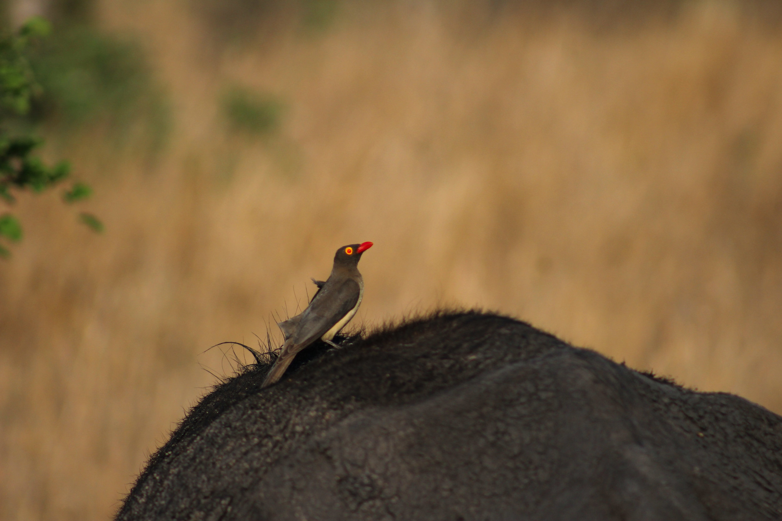 Oxpecker buffalo _ SA (1 of 1).jpg