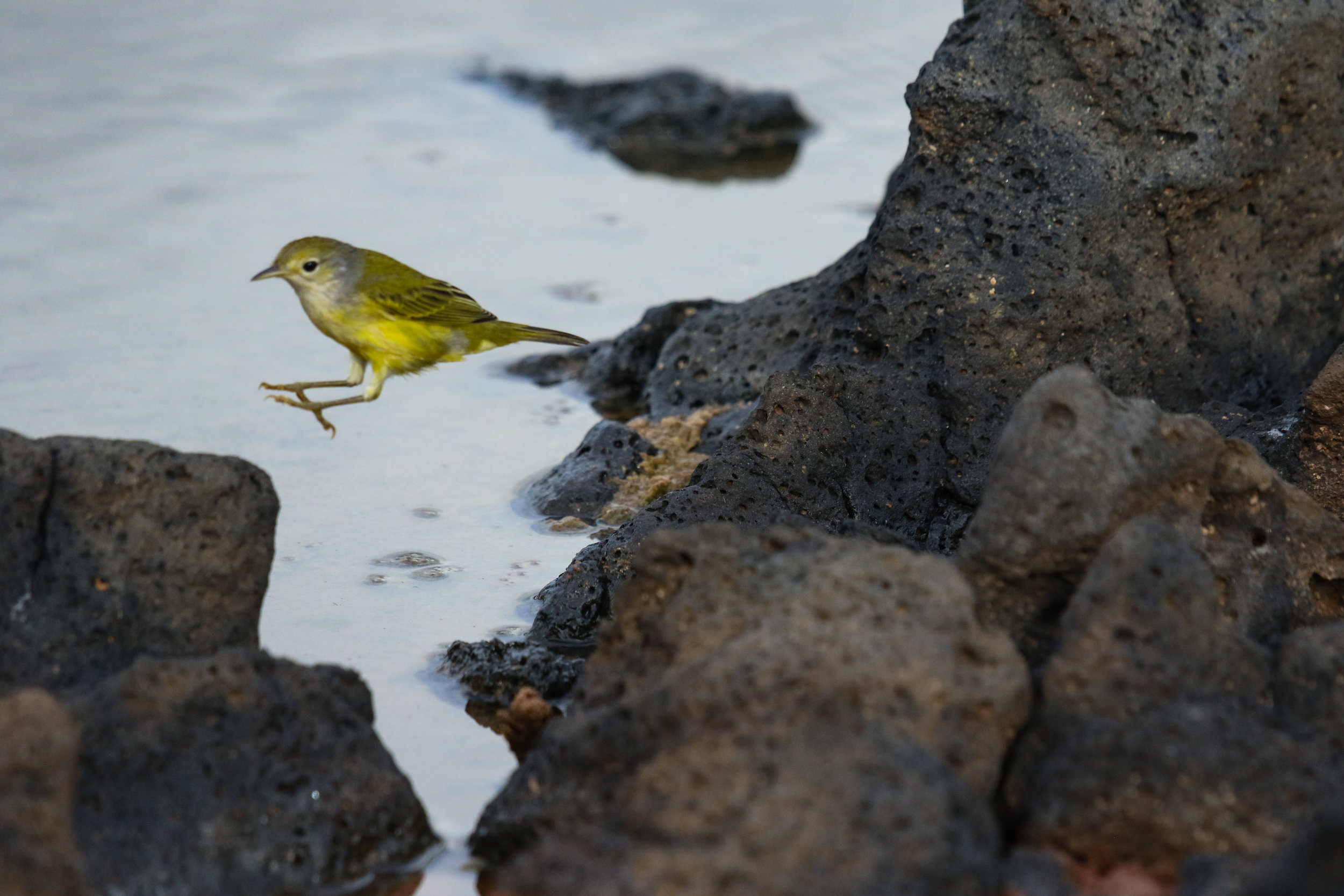 Yellow Warbler Bird Galapagos Islands Ecuador by Millie Kerr -1 (1).jpg