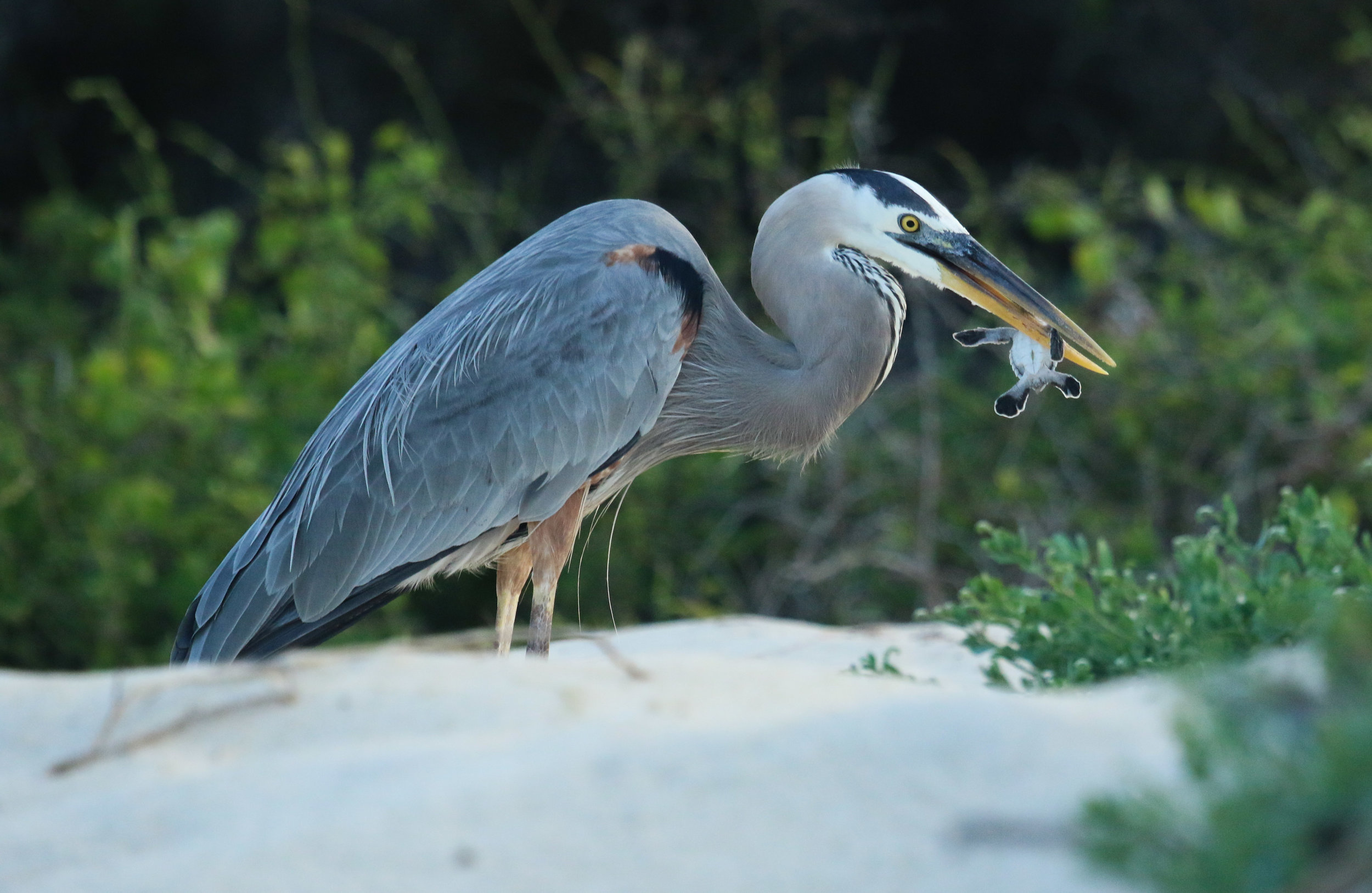 Blue Heron eating Baby Green Sea Turtle Galapagos Islands Ecuador by Millie Kerr -1.jpg