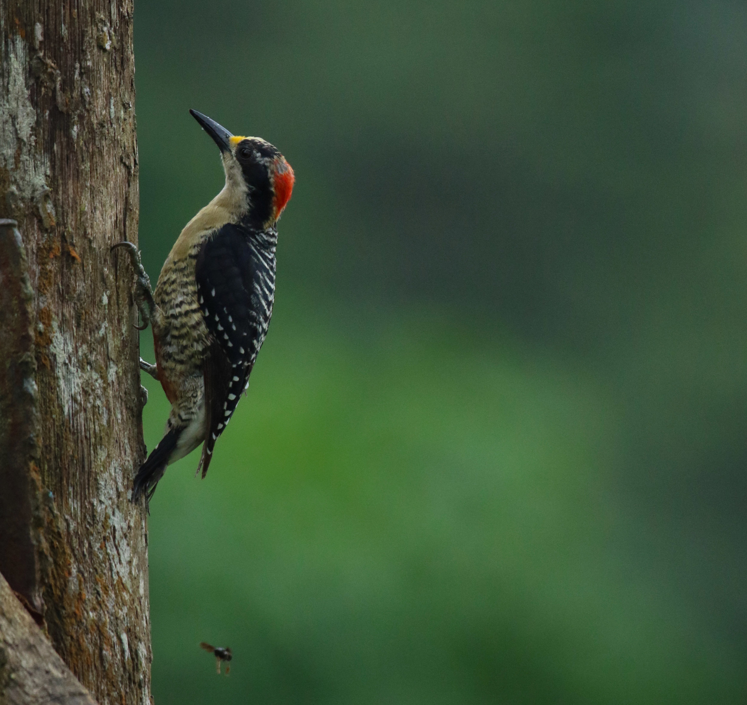 Black-Cheeked Woodpecker bird Mashpi Reserve Ecuador by Millie Kerr -1.jpg
