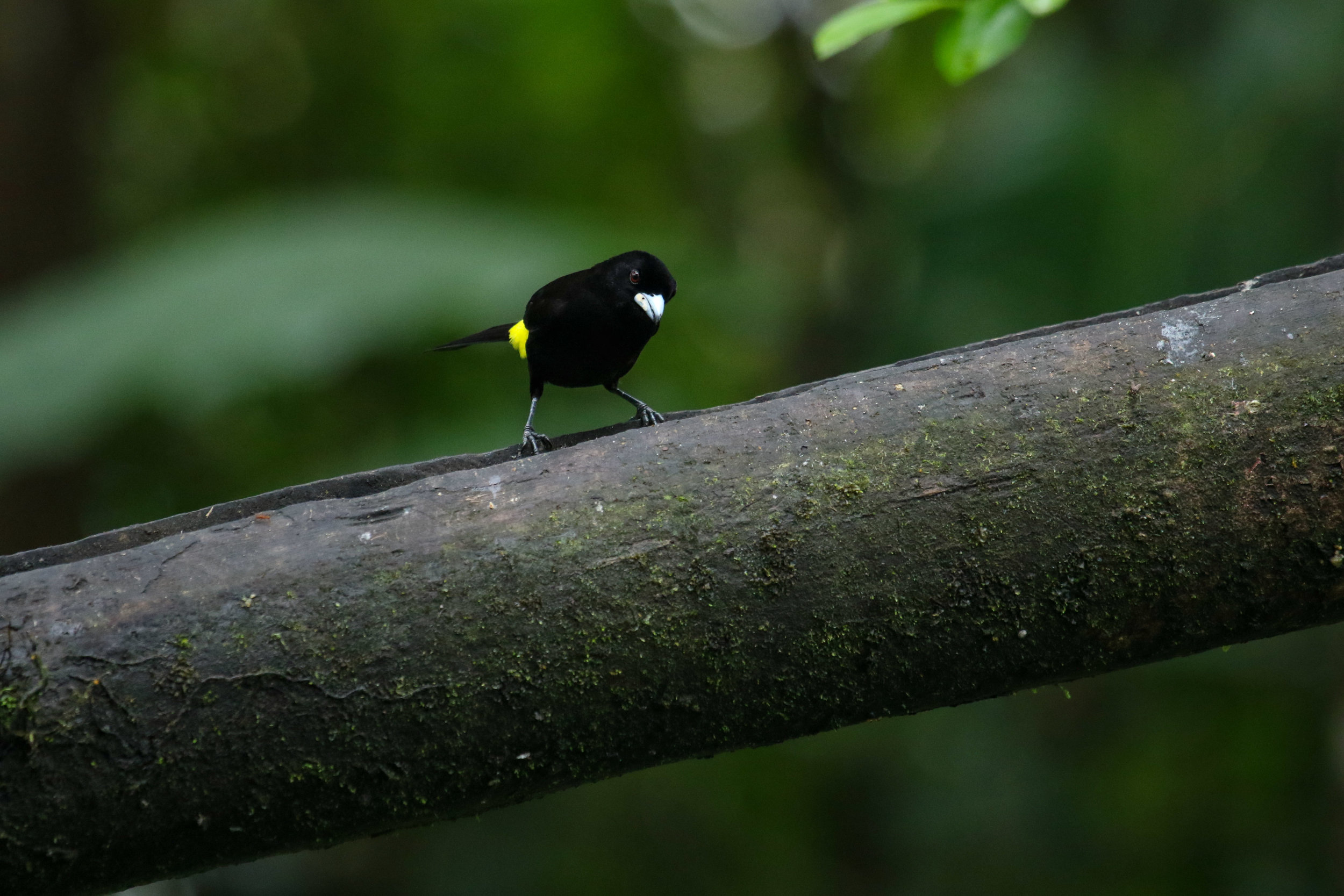 lemon-rumped tanager bird 2 mashpi ecuador by Millie Kerr -1.jpg