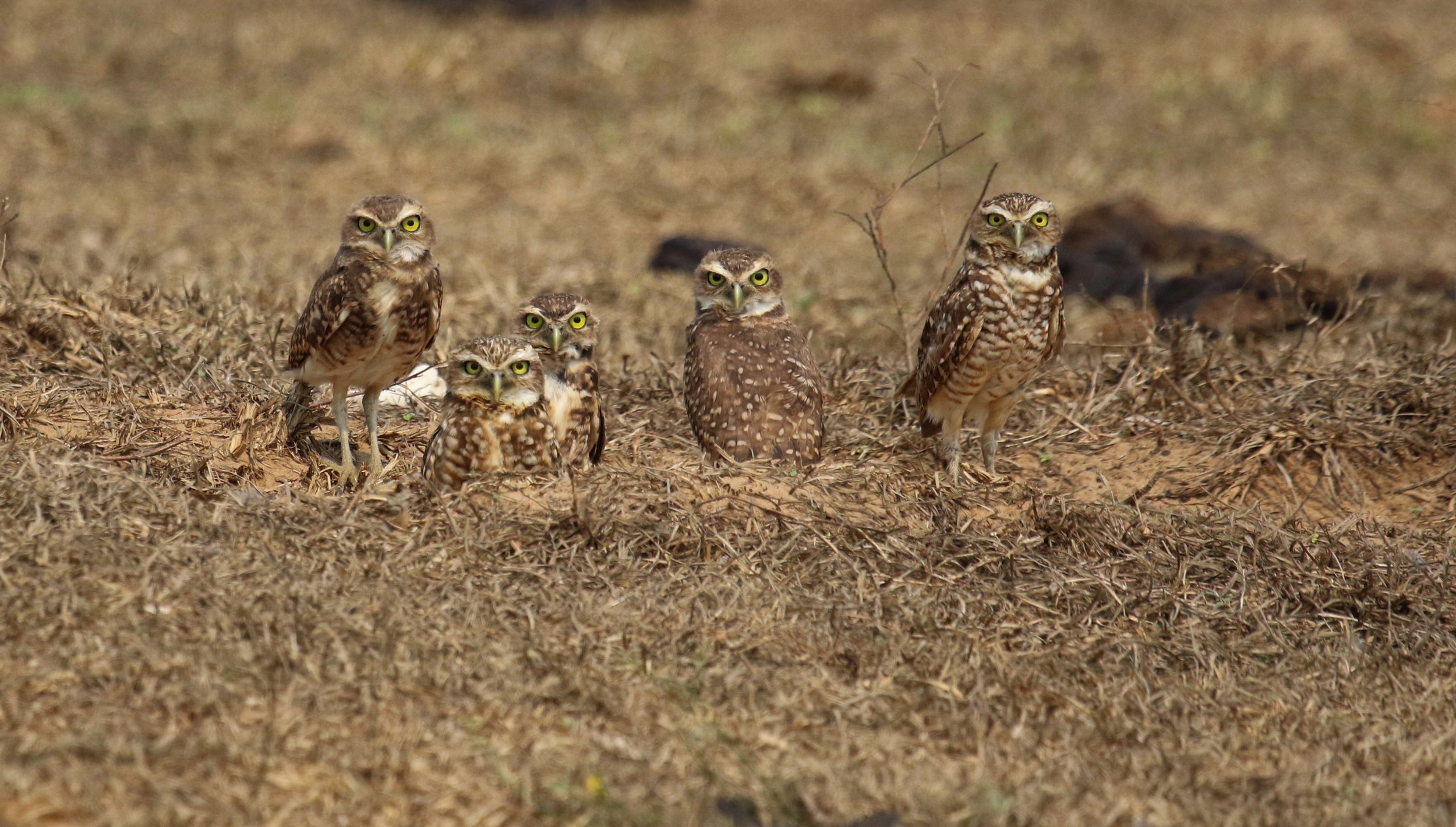 Family Burrowing Owls birds La Aurora Llanos Colombia by Millie Kerr -1.jpg