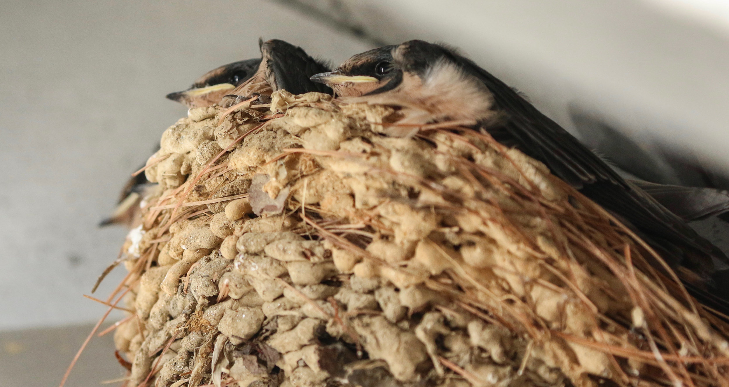 Barn swallow chicks side view North Carolina by Millie Kerr-1.jpg