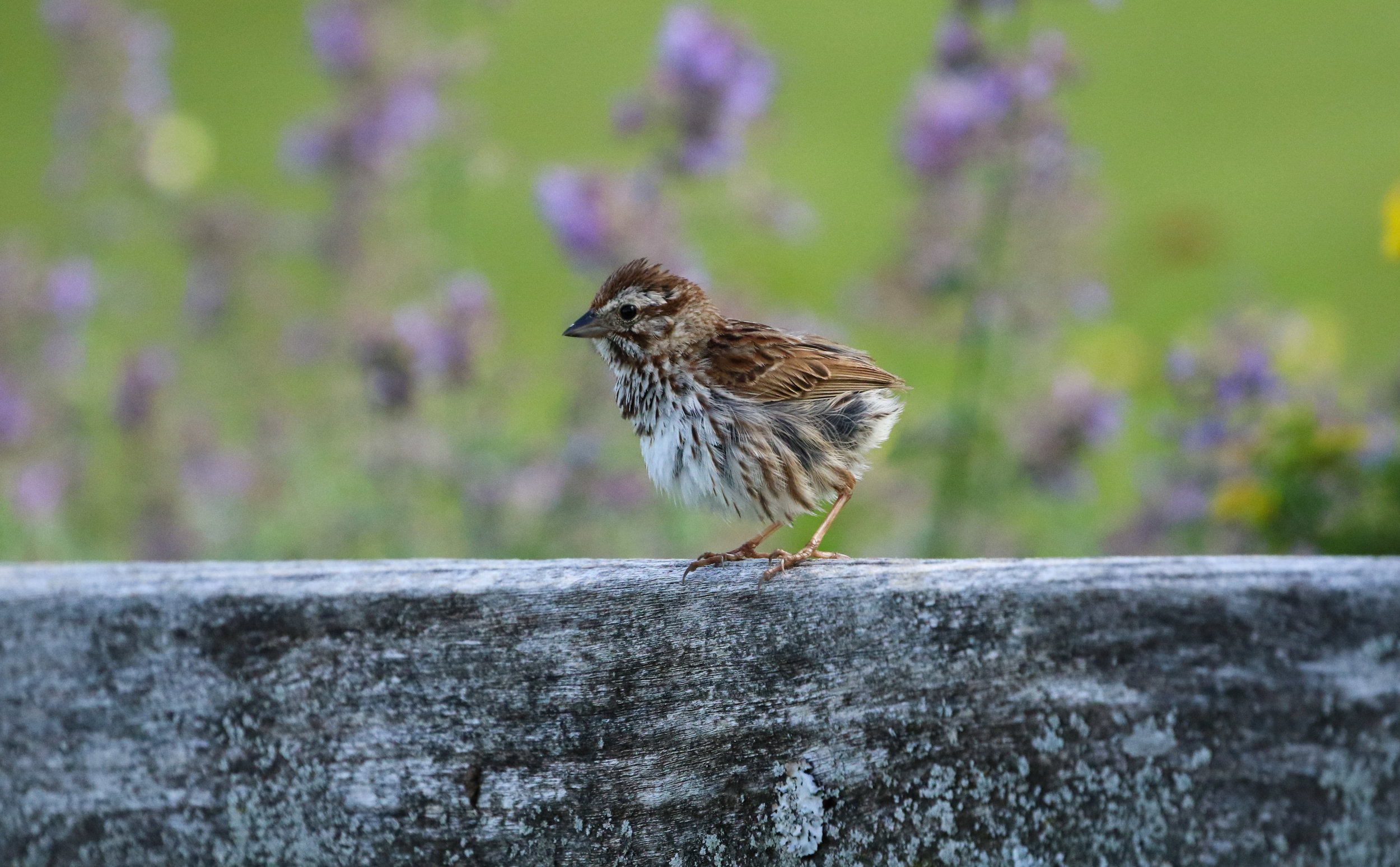 Eastern song sparrow fledgling on bench North Carolina by Millie Kerr-1.jpg