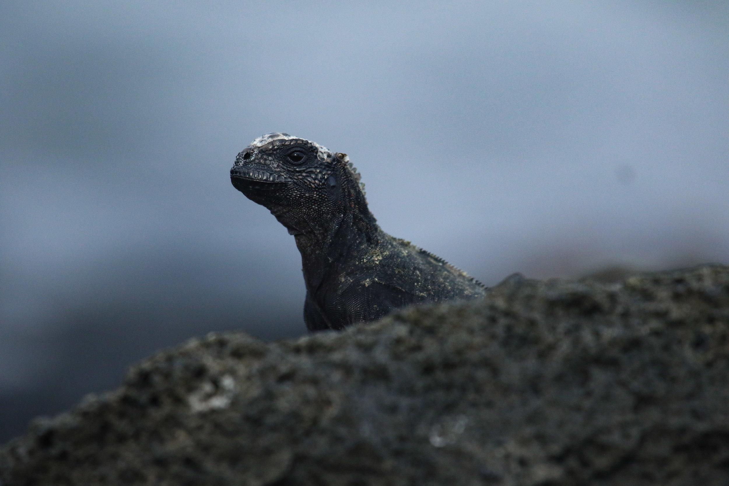 Young Marine Iguana Galapagos Islands Ecuador by Millie Kerr -1.jpg