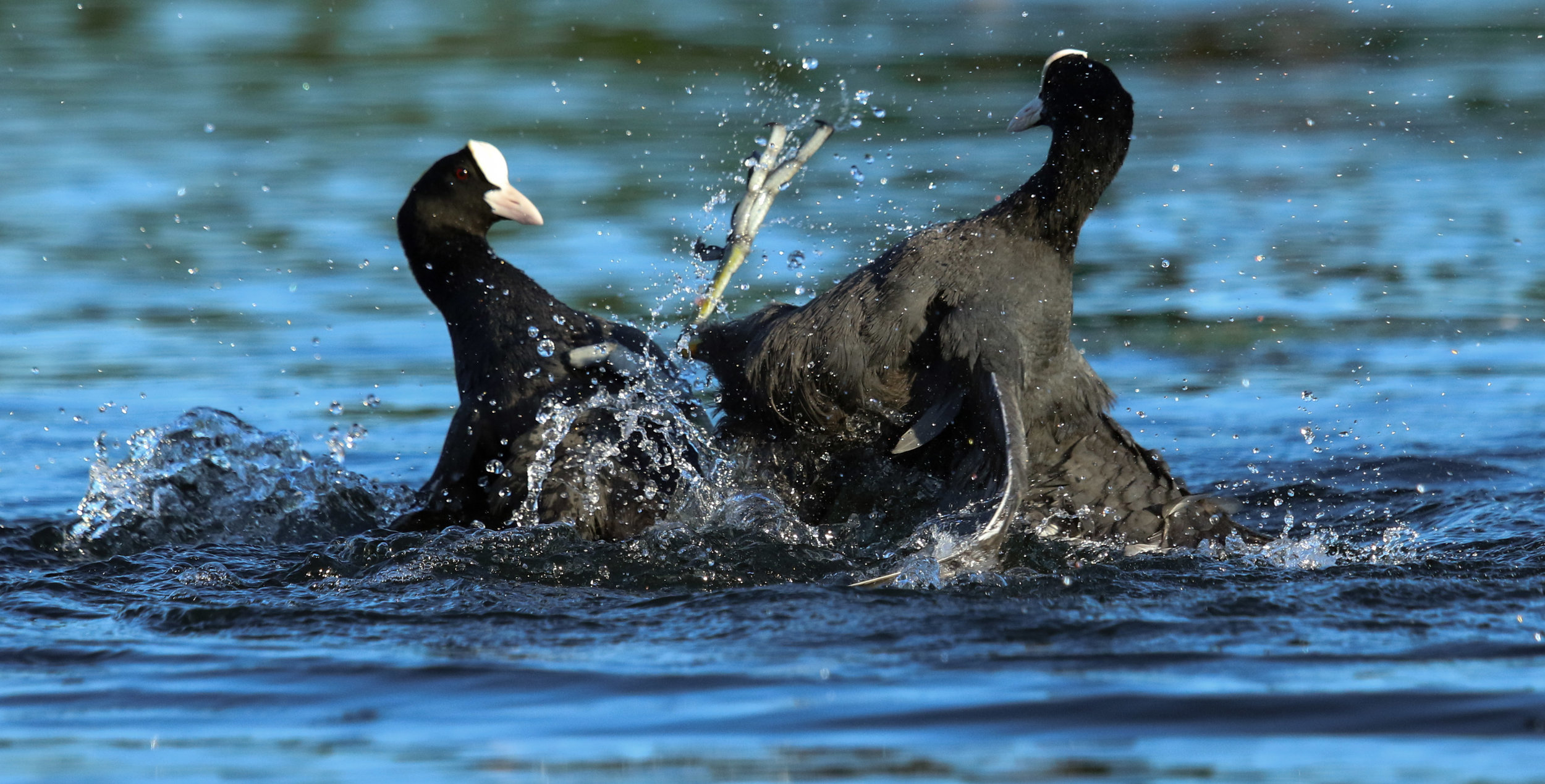 Coots fighting 1 Hyde Park London by Millie Kerr -1.jpg