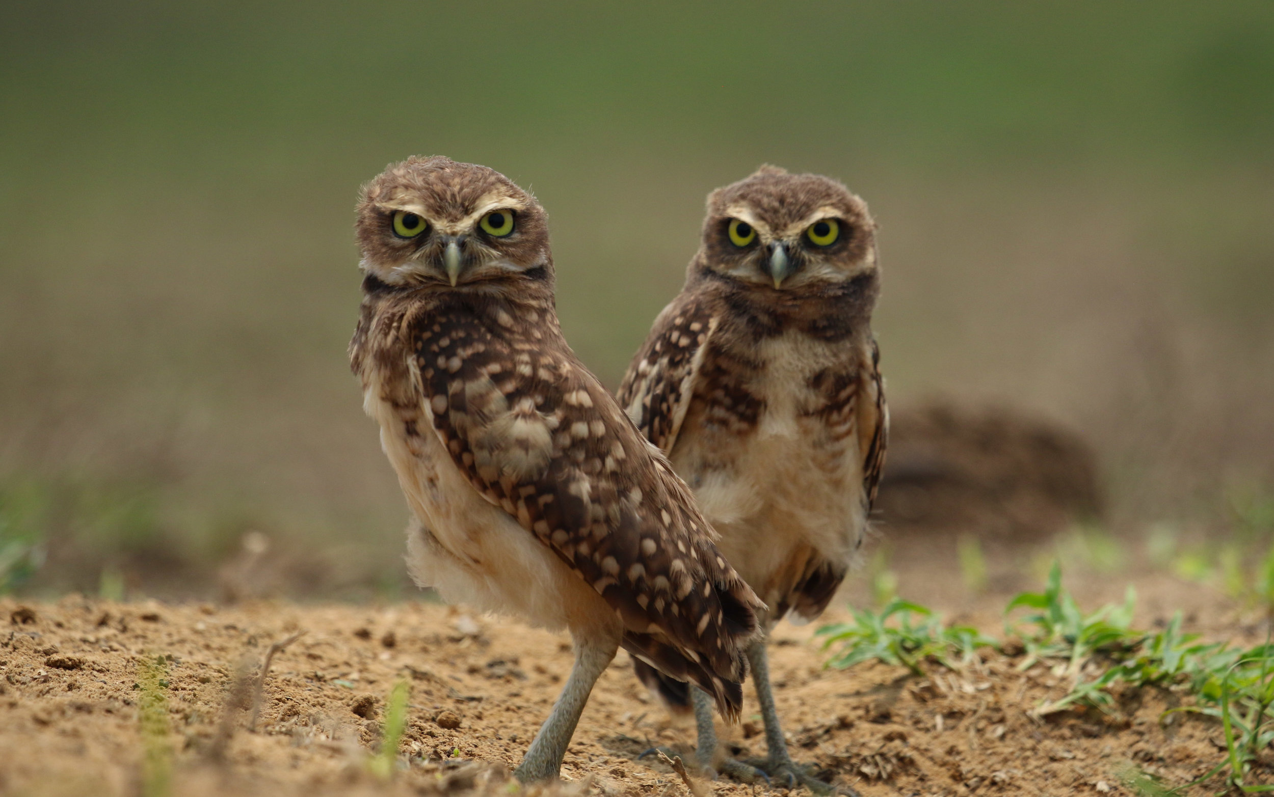 Burrowing owls staring at camera Llanos Colombia by Millie Kerr-1.jpg