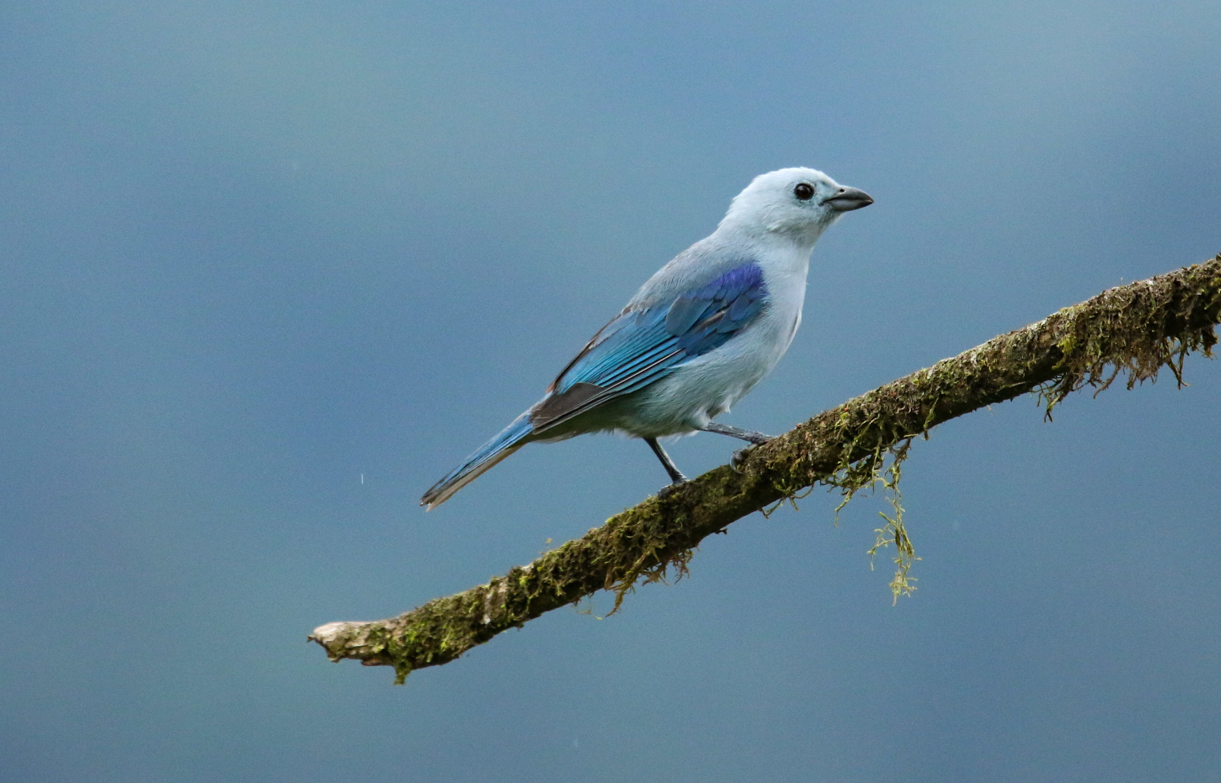Blue-gray tanager bird Mashpi Reserve Ecuador by Millie Kerr -1.jpg