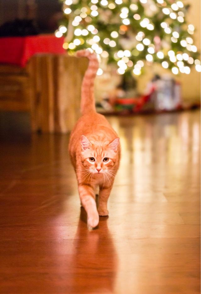 orange-tabby-cat-meowie-Hawaii-Mele-Kalikimaka-Holiday-Christmas-Bamsey307.jpg