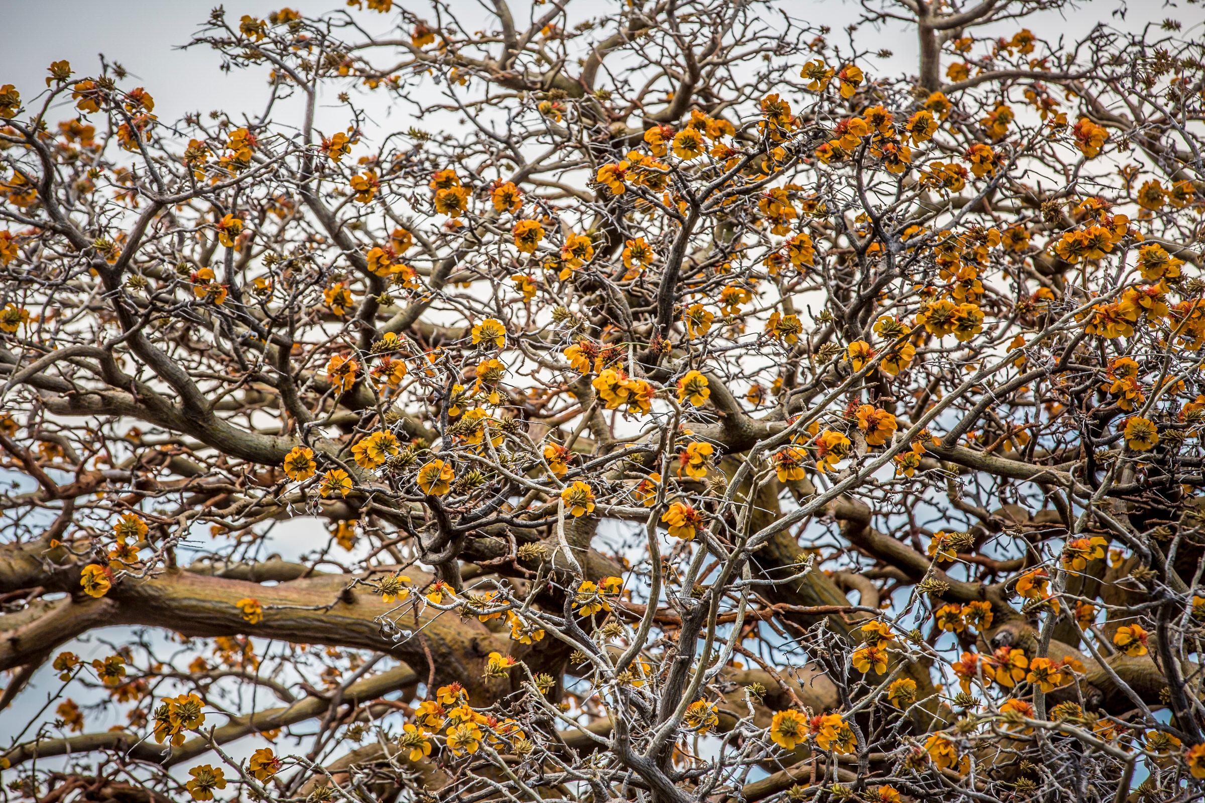 orange-blossoms-canopy-willi-willi-tree-festival-Waikoloa-Village-Hawaii-Island-South-Kohala-313.jpg