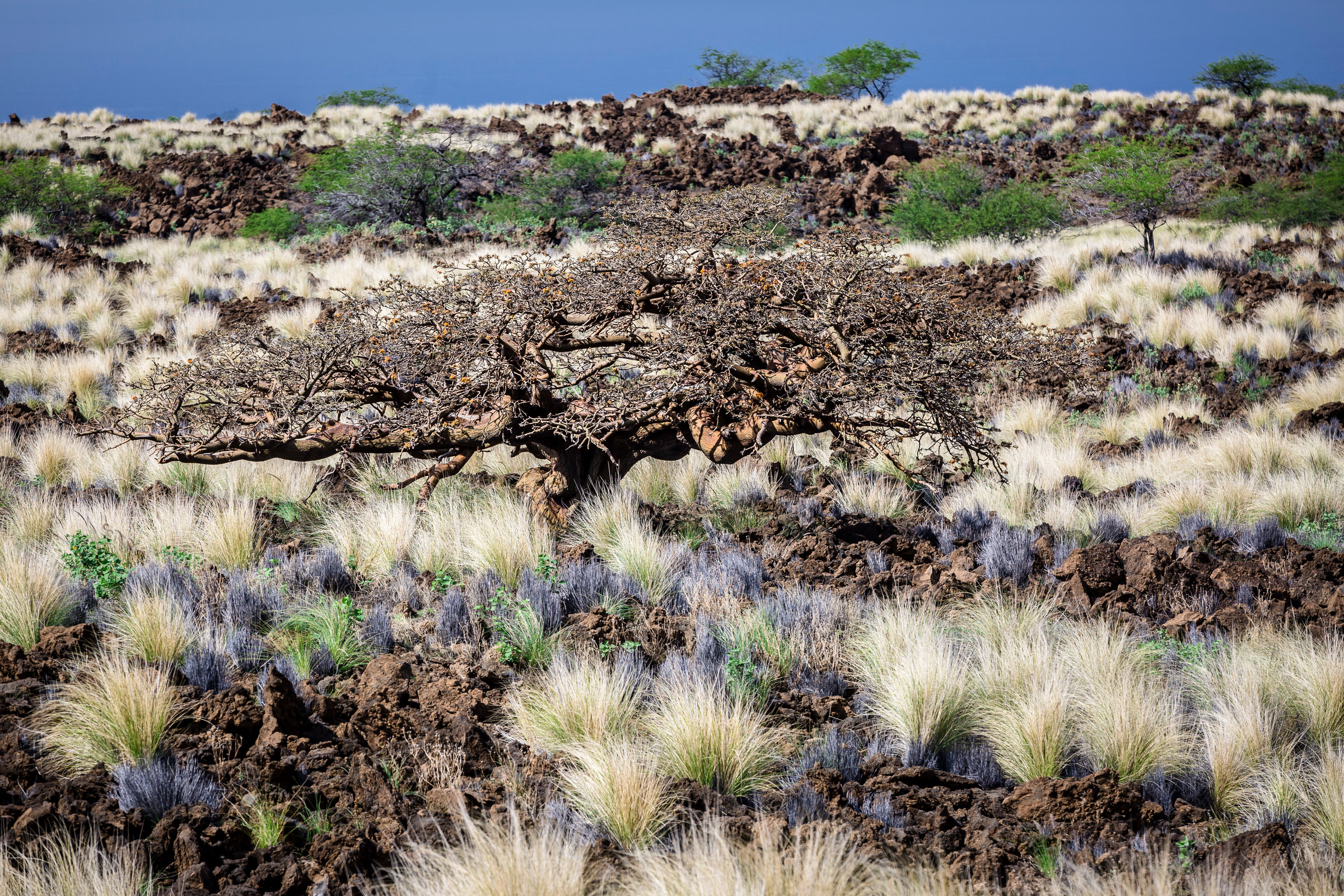 dry-forest0landscape-willi-willi-tree-festival-Waikoloa-Village-Hawaii-Island-South-Kohala-314.jpg