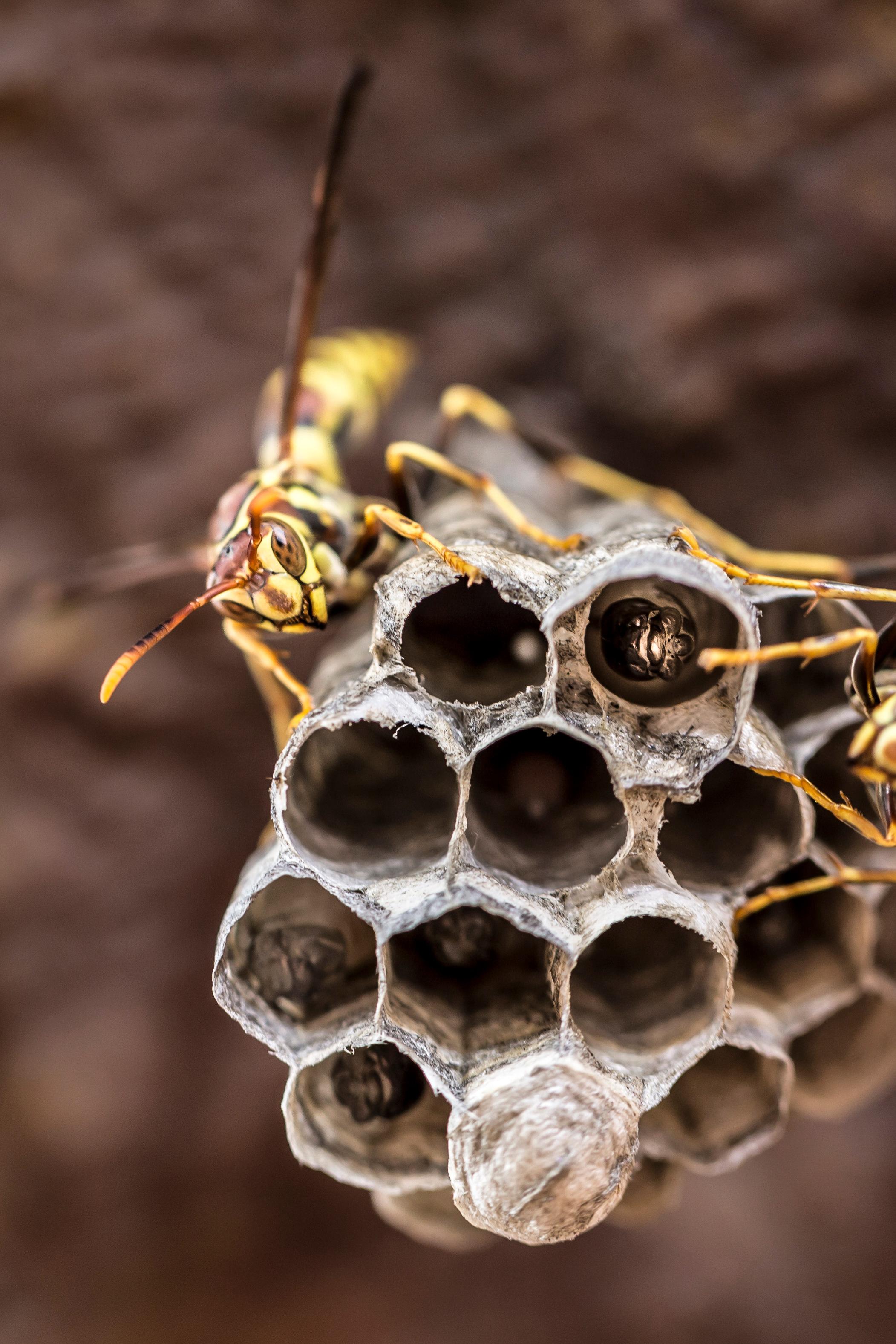 insect-wasp-larvae-willi-willi-tree-festival-Waikoloa-Village-Hawaii-Island-South-Kohala-340.jpg