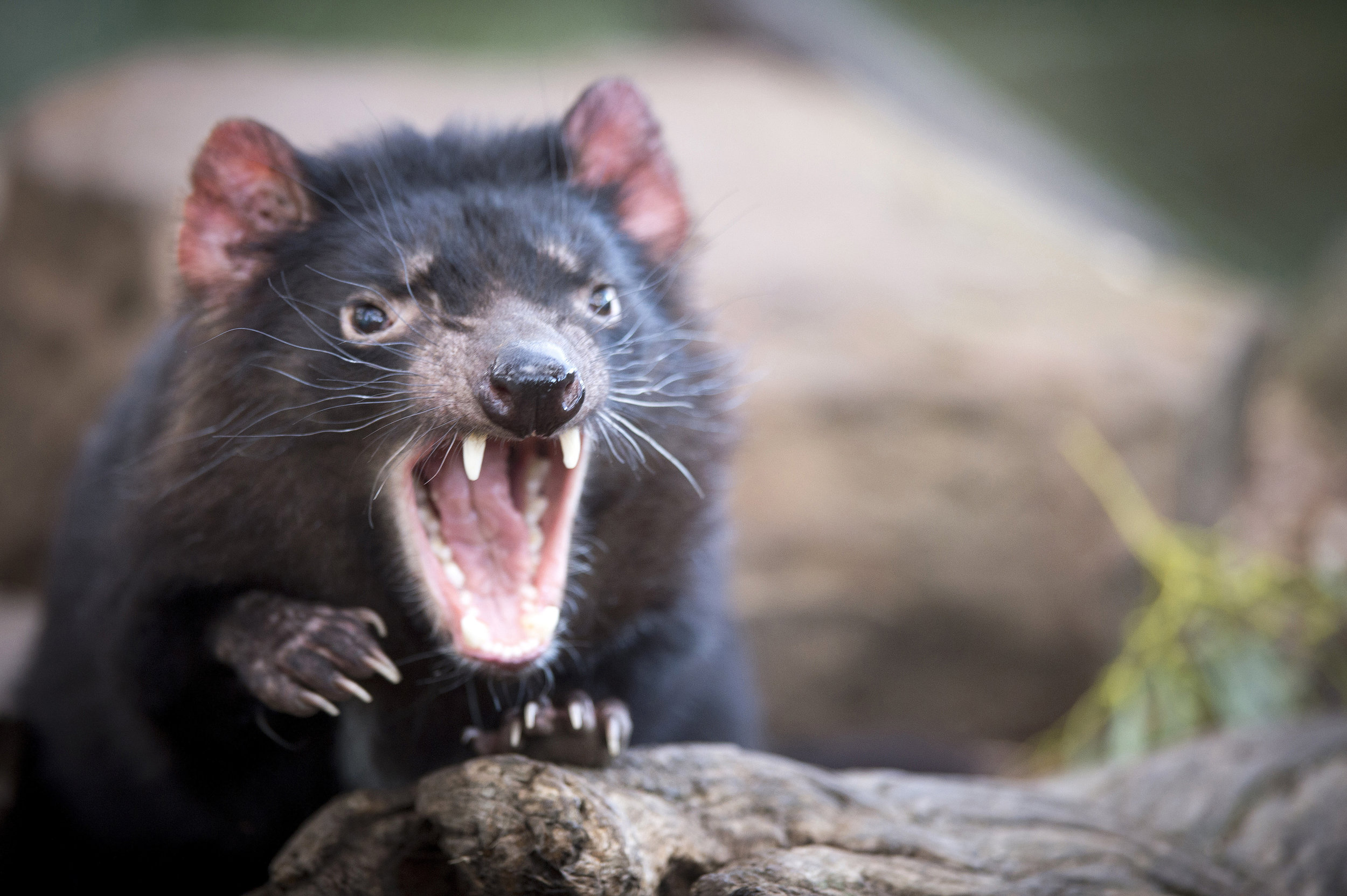 The Tasmanian Devil - our iconic animal.