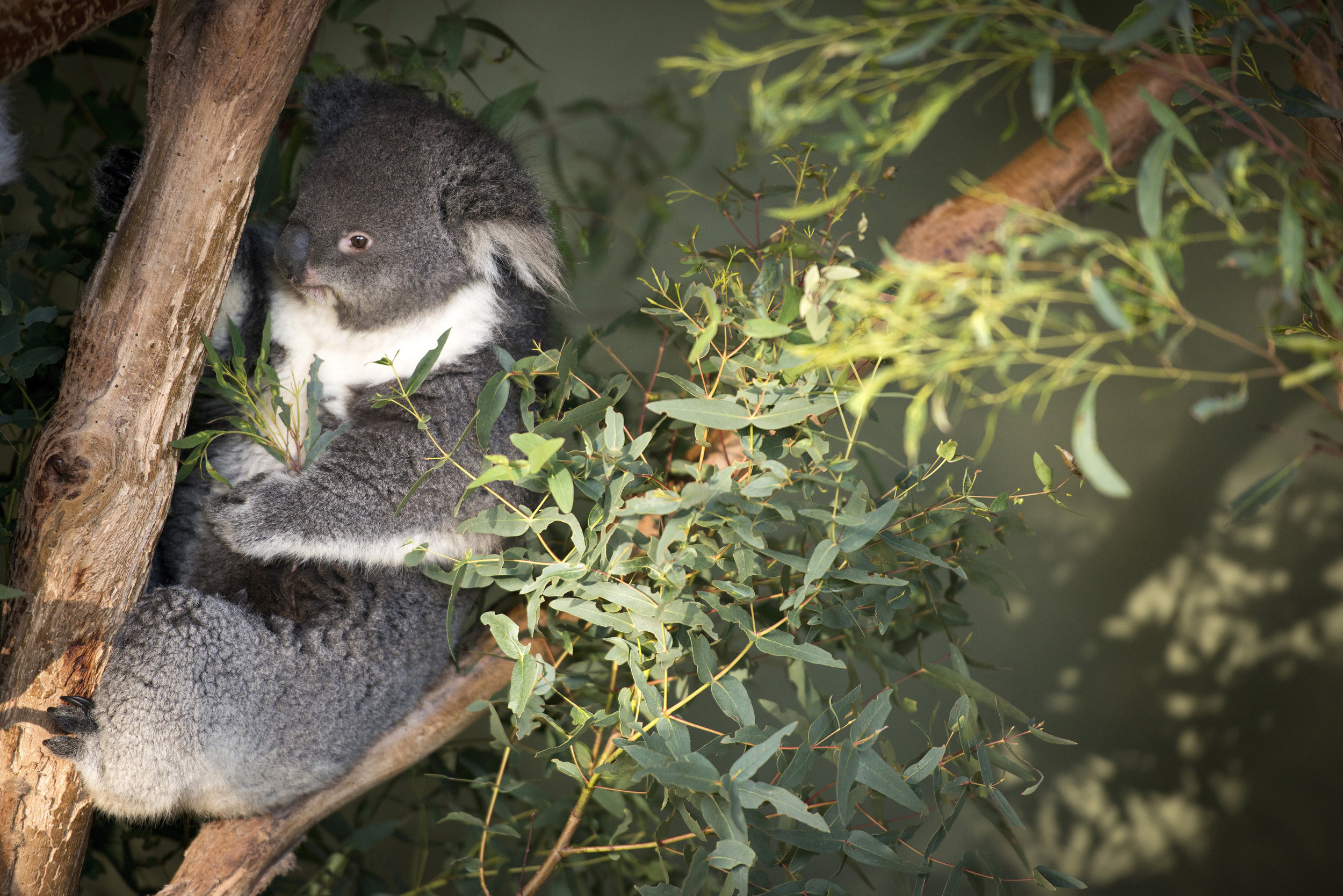 Koala. The rockstars of the bush. Their pretty chilled just doing their thing & they dont mind if you give them a little pat.