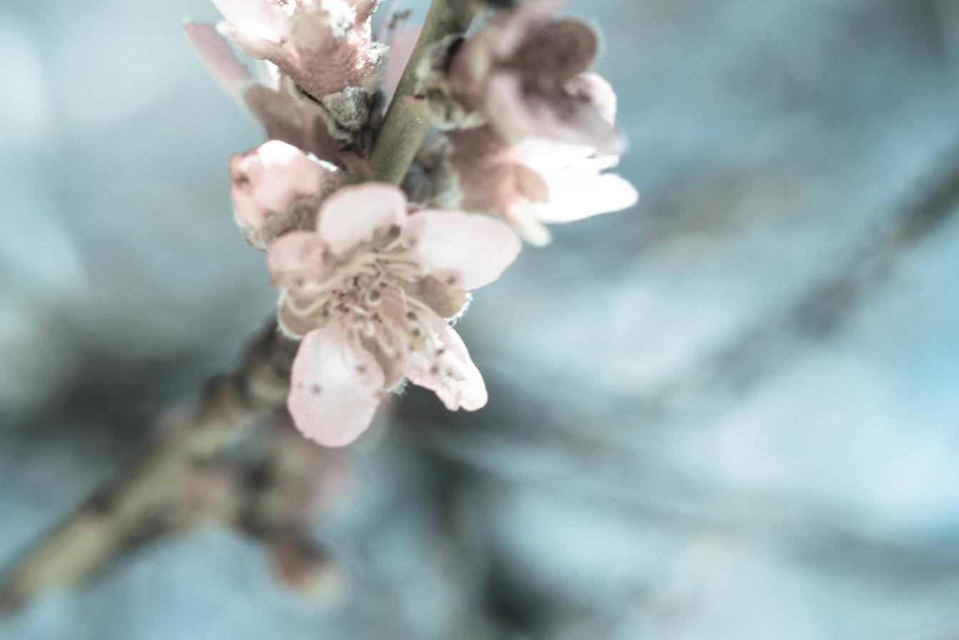 Peach Medicine & Venomous Insects -
