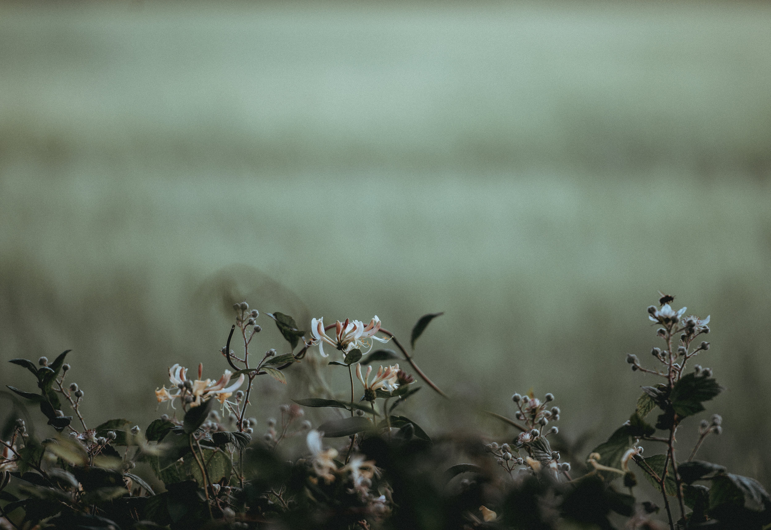 Honeysuckle by Moonlight - the essential vitality of fresh plants