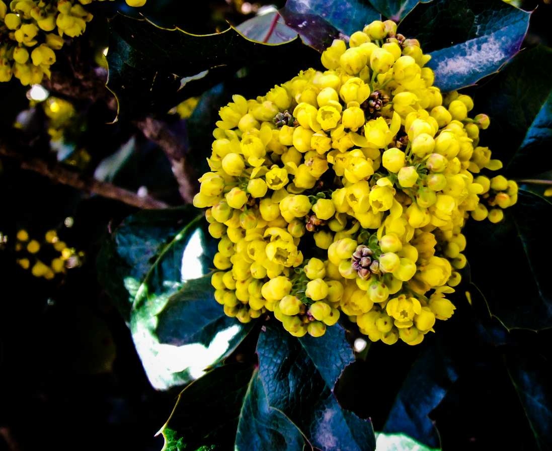 Oregon Grape Root - Actions + Therapeutics