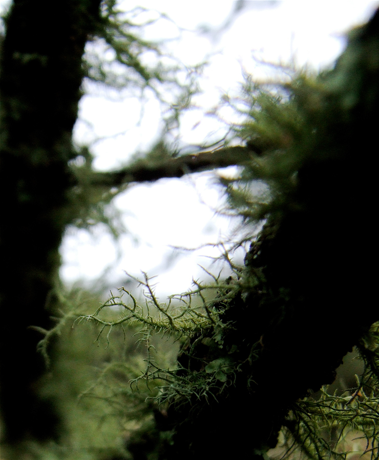 Medicine from the Enchanted Forest - Usnea