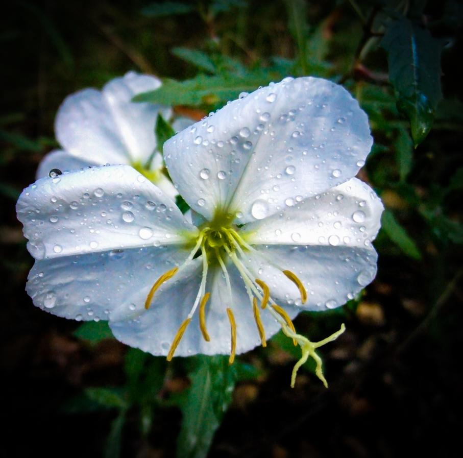 Evening Primrose, Illuminated - Night Blooming