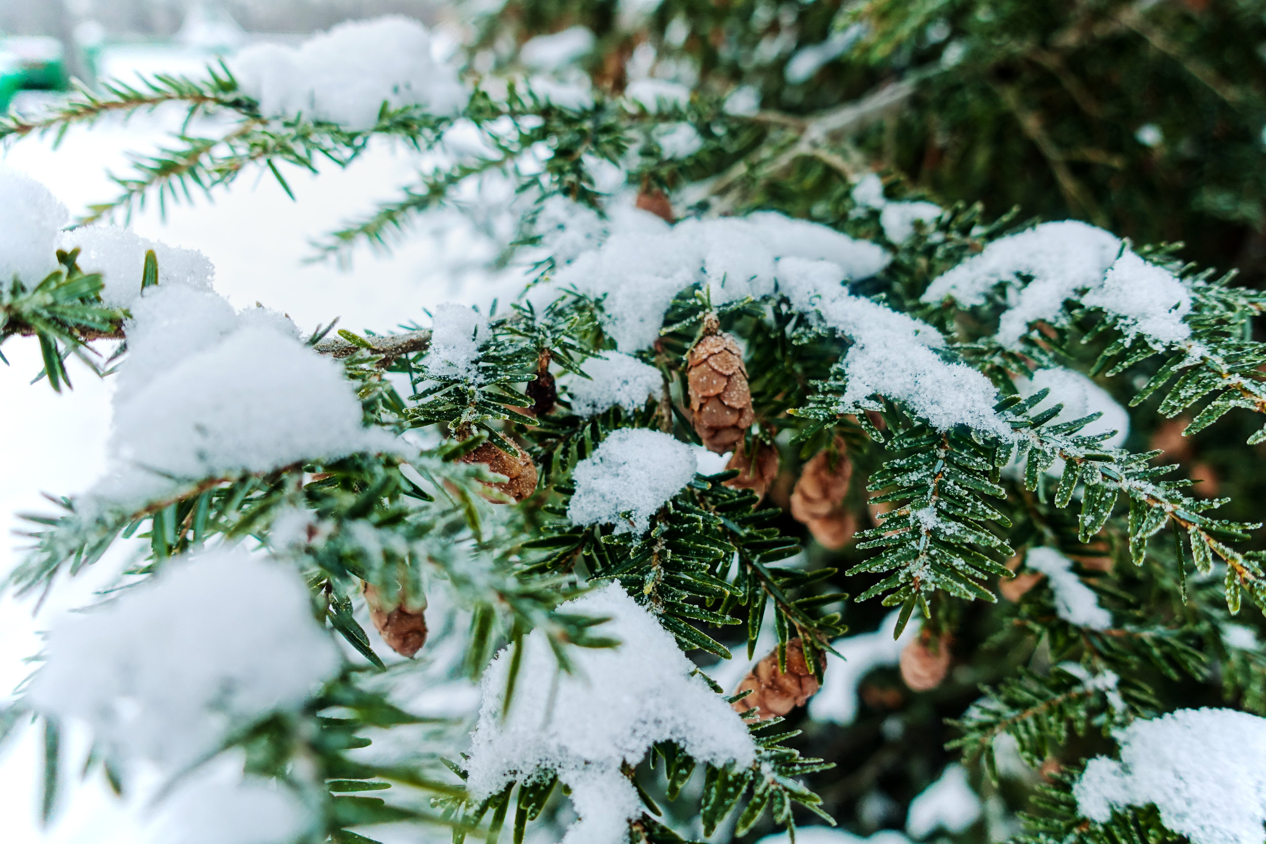 The Forest in Winter - Conifer Resins For Healing + Pleasure