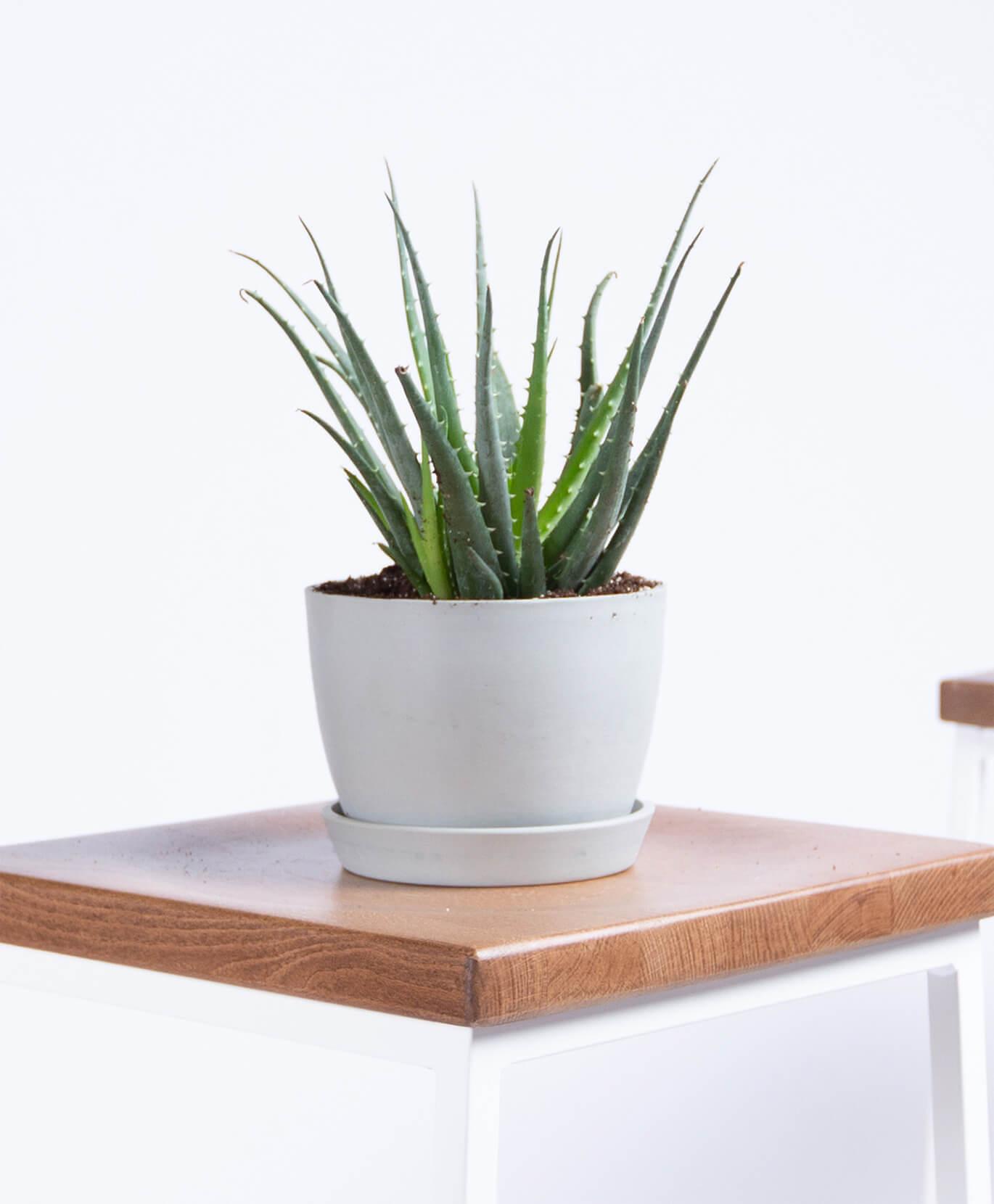 Aloe Plant -