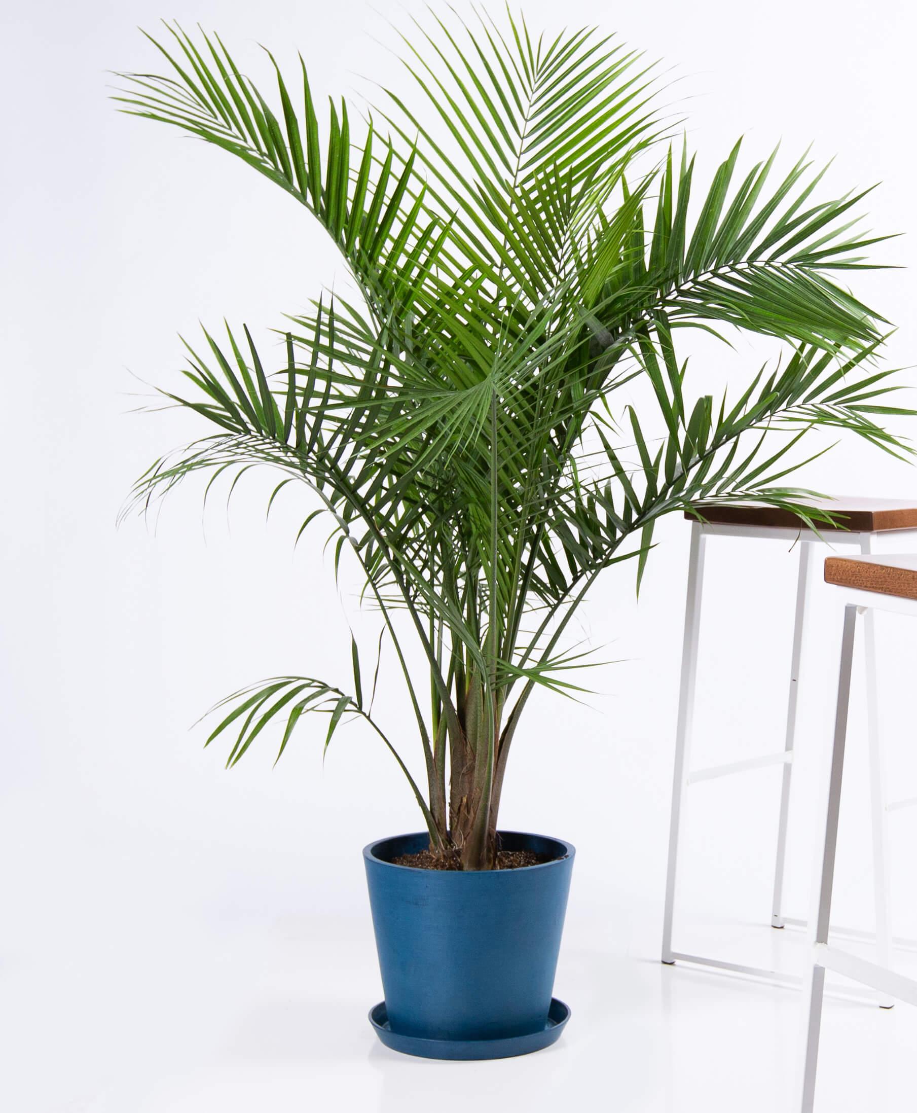 Majestic Palm -