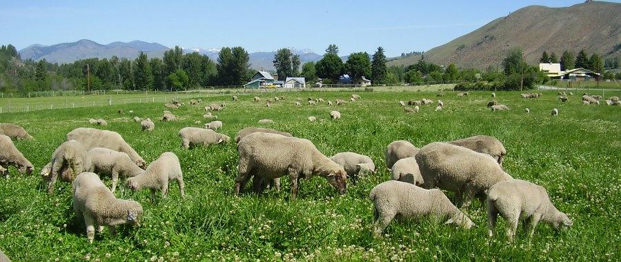 sheep .jpg