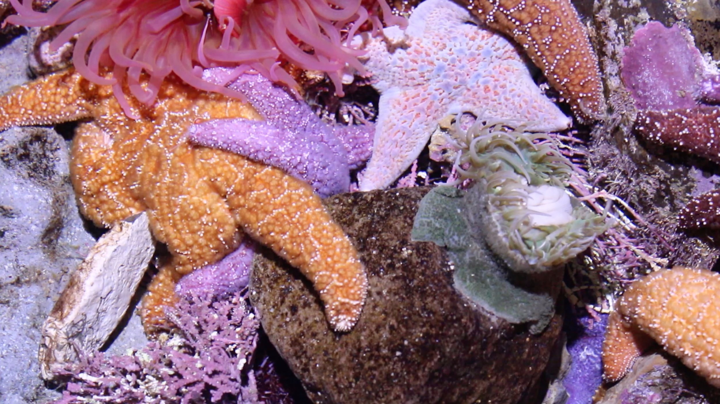 sea stars and sea anemone