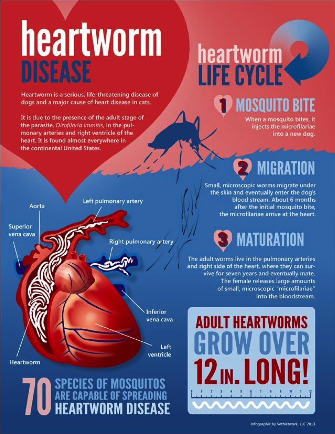 heartwormdisease.png