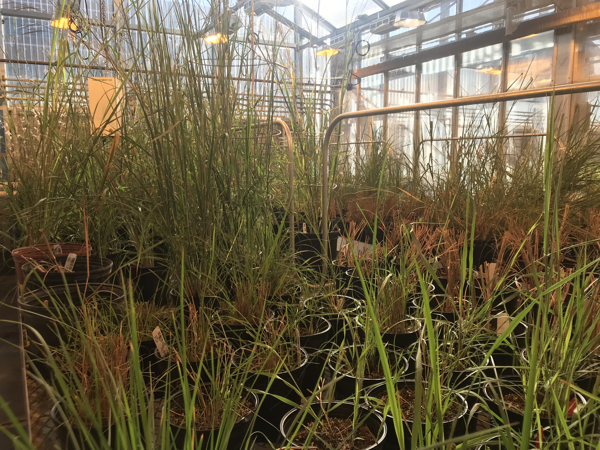 Field specimens in greenhouse