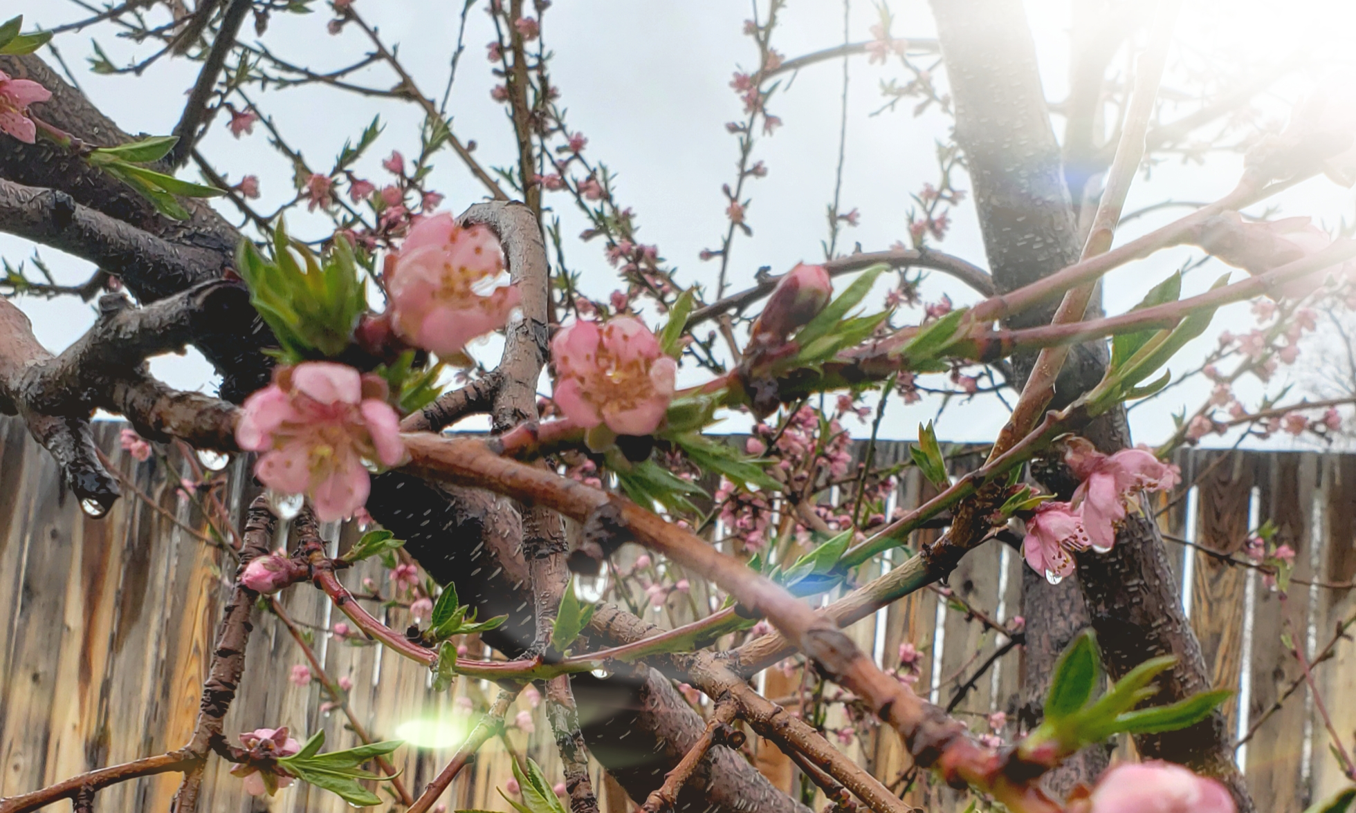 Peach Blossoms from our backyard
