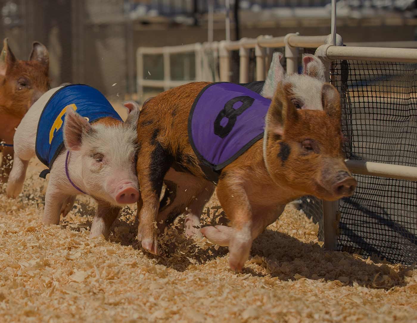 pig-racing-at-the-craft-beer-festival-near-silverstone-001.jpg