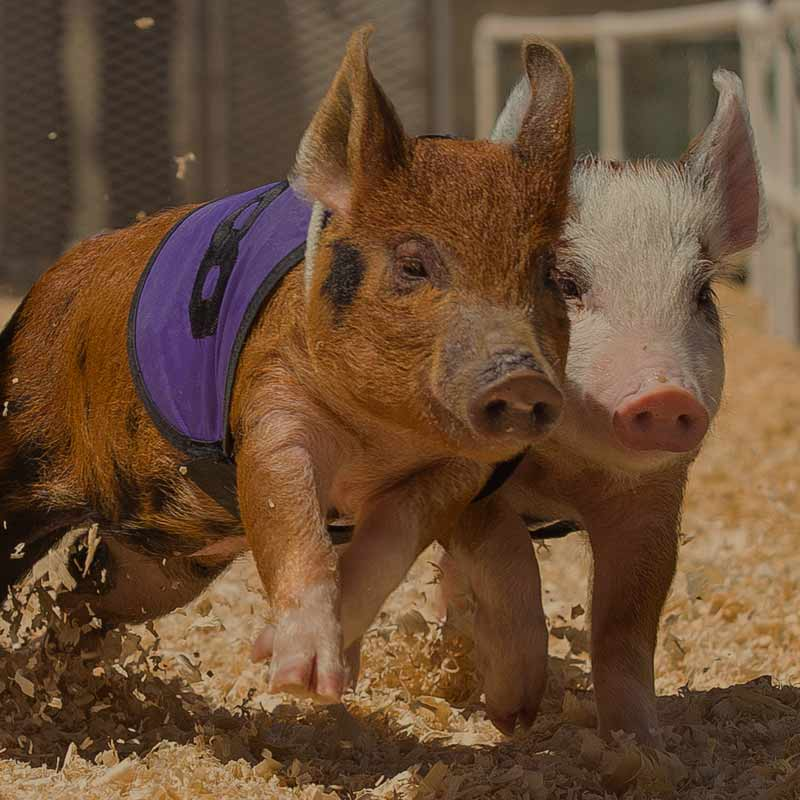 pig-racing-at-the-craft-beer-festival-near-silverstone-002-sq2.jpg