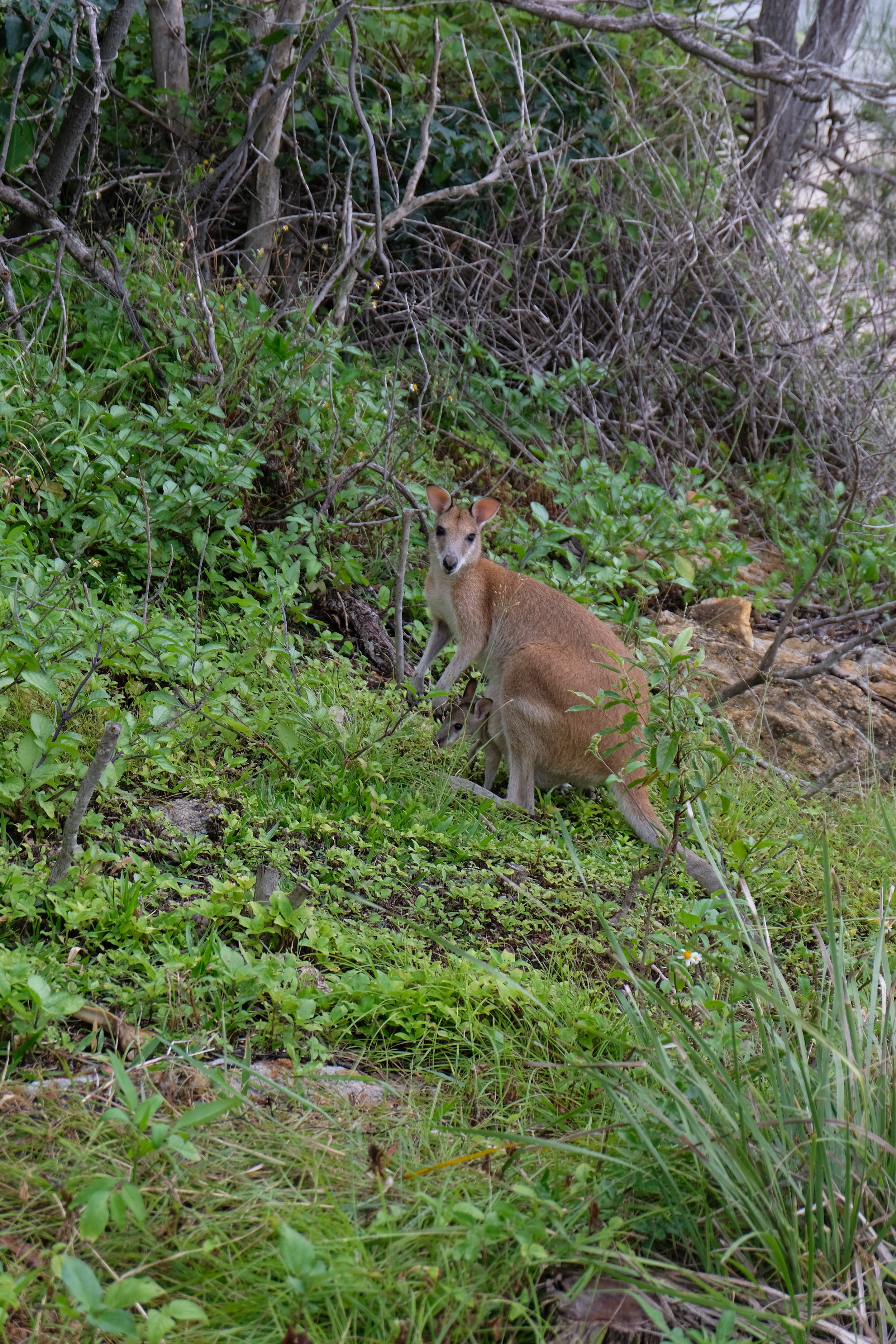 So lucky to have seen a kangaroo and joey!! They are up on the cliff area along the beach. Reminder, this is an island* !