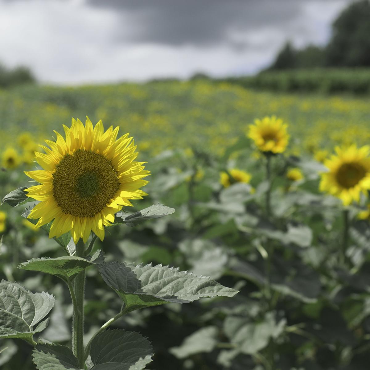 Jarrettsville Sunflowers