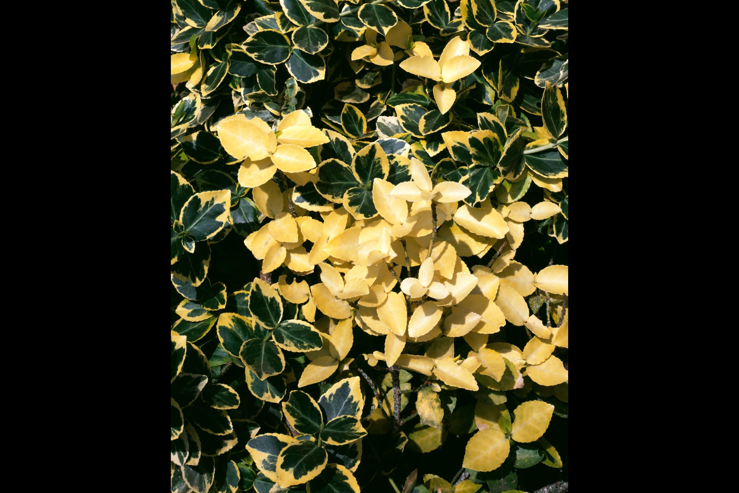 EvaristeMaiga_Plant_Leaves_2_Web.png