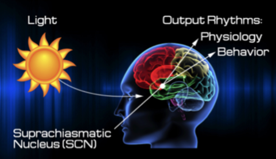 Our internal biological clock, called the suprachiasmatic nucleus, takes cues from the sunlight, as well as temperature and other regular inputs, in order to tell the pineal gland when to release a sleep hormone called melatonin. Many facets of modern living often send the wrong signals to this internal sleep regulator, throwing off our natural rythms.